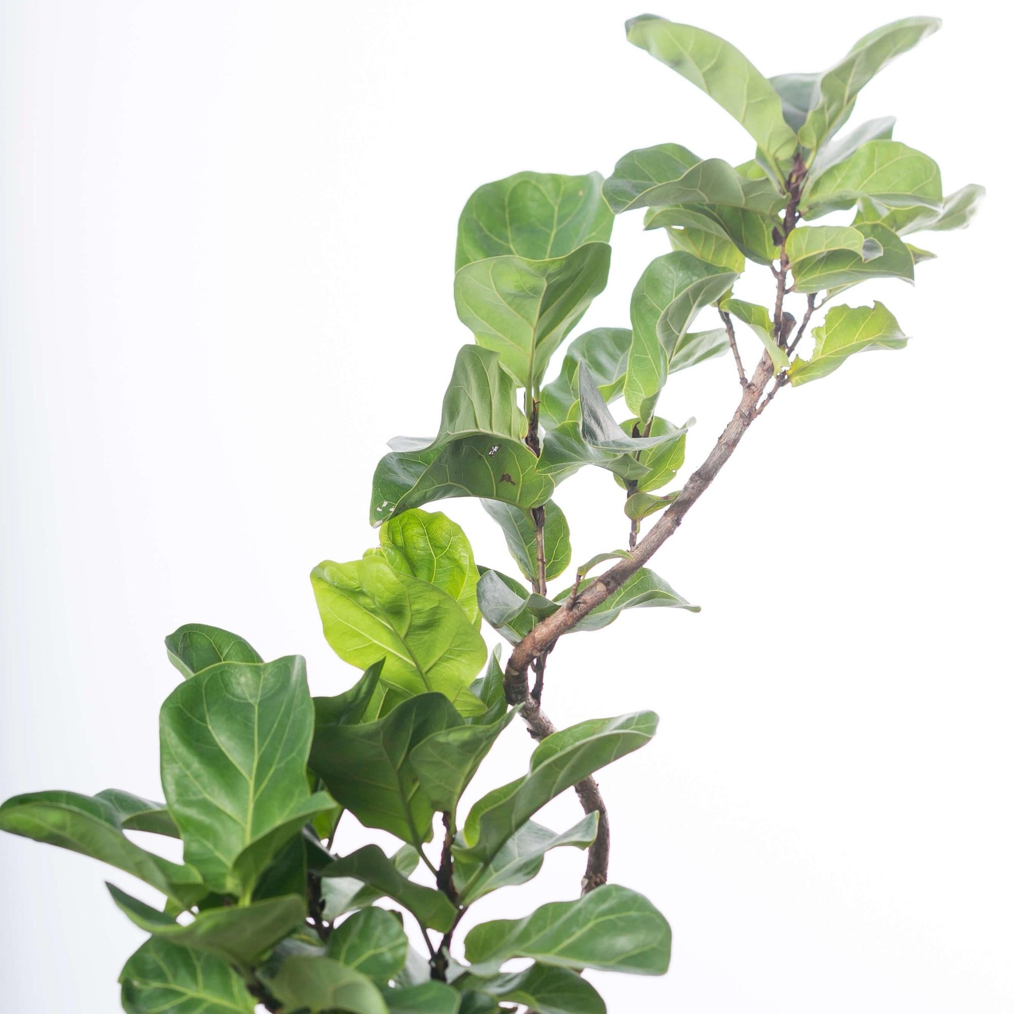 観葉植物、カシワババンビーノ、ゴムノキ