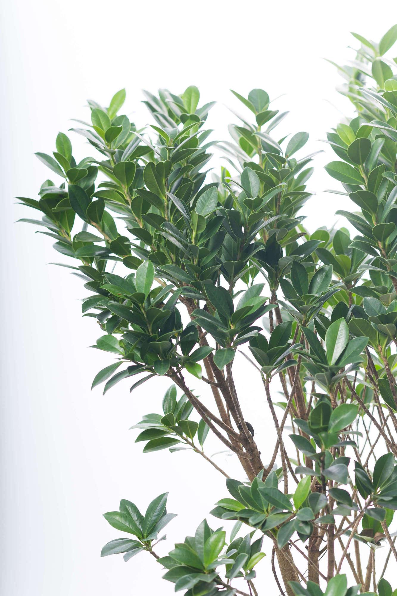 ガジュマル、観葉植物