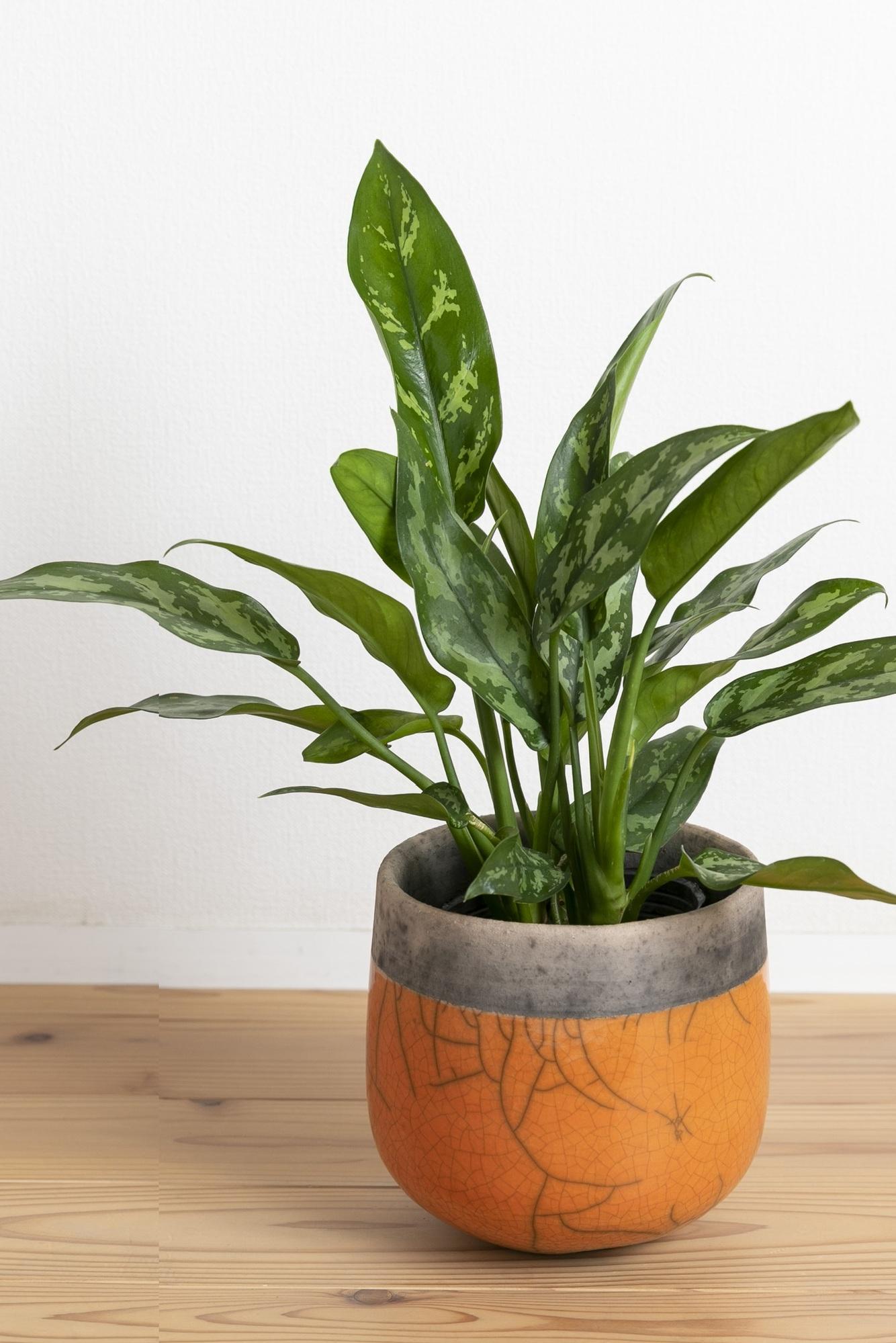 アグラオネマ・マリア、観葉植物