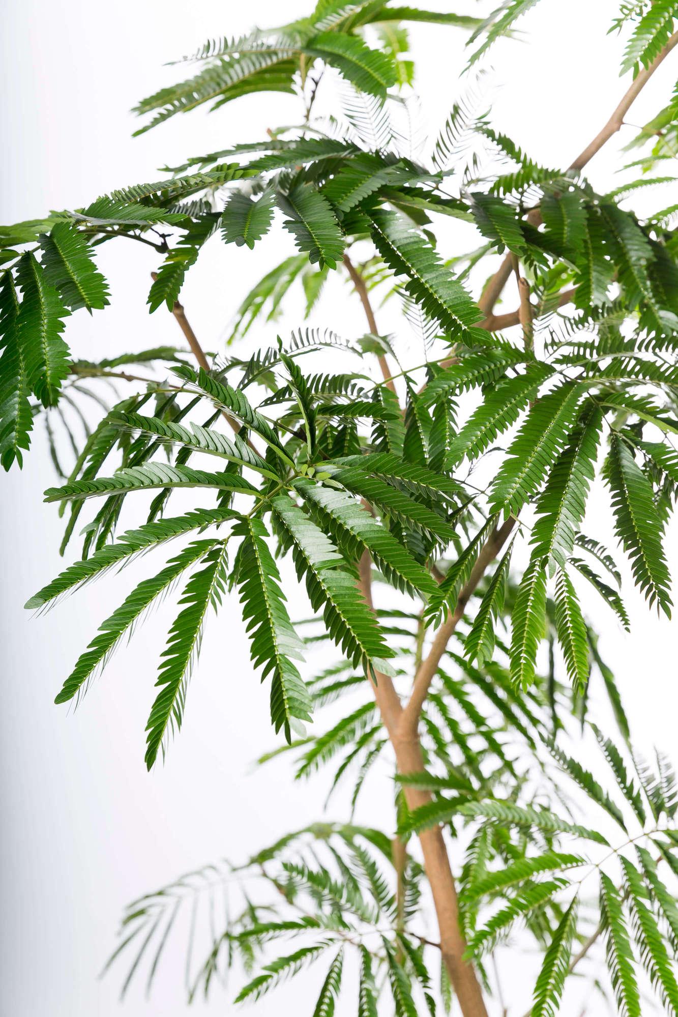 エバーフレッシュ 観葉植物 インドアグリーン