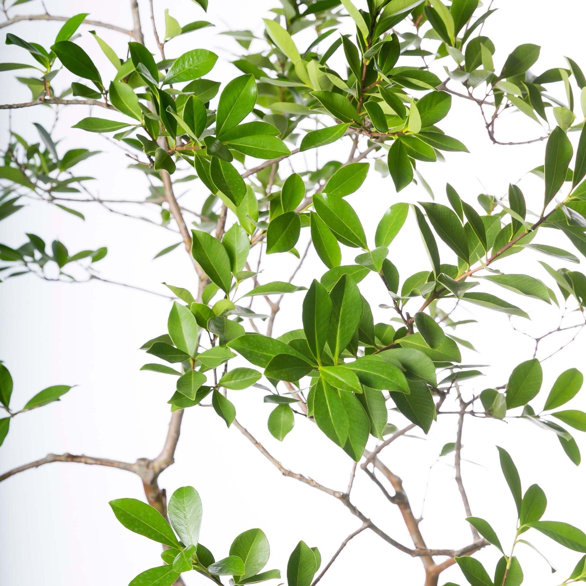 グアバの木 観葉植物