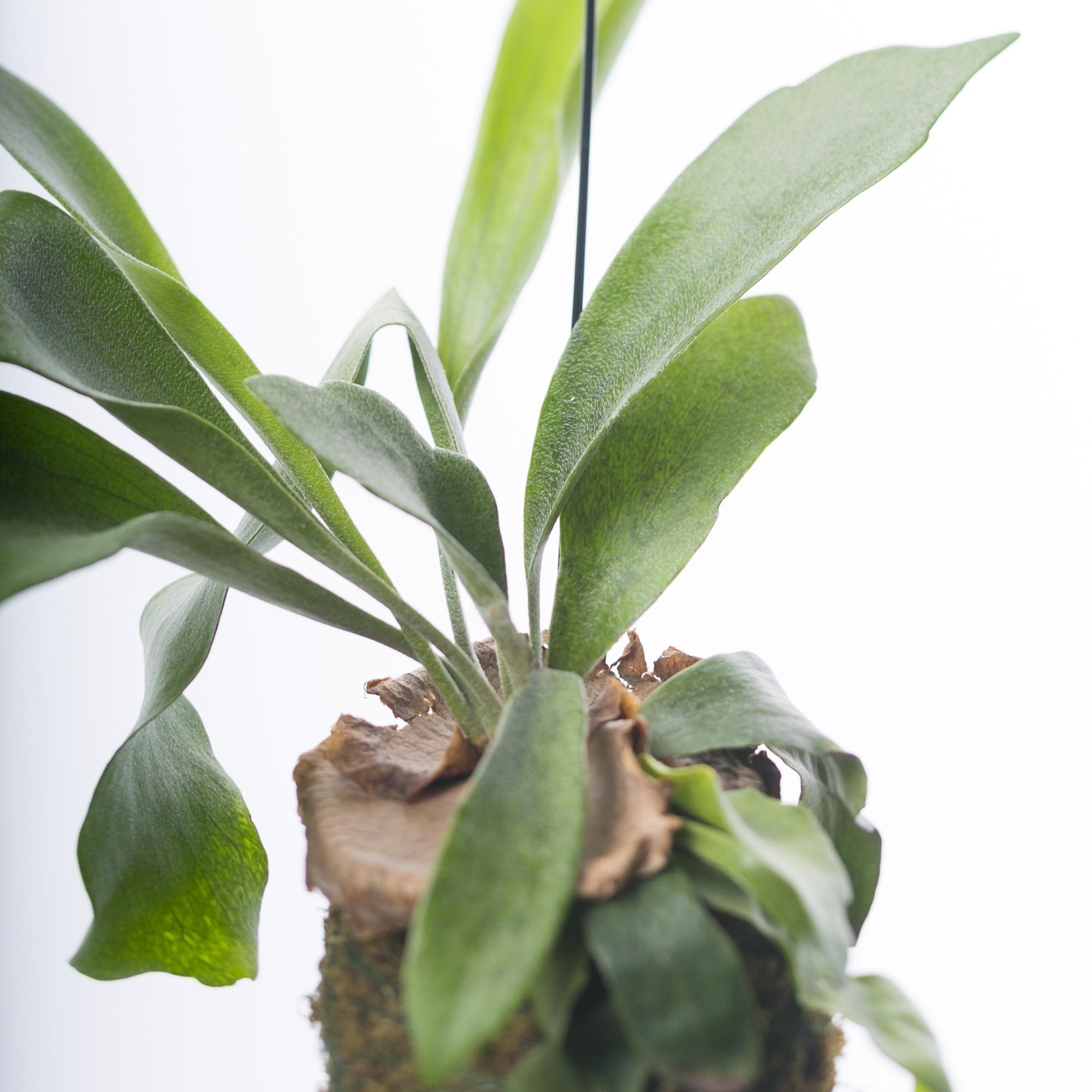 コーモリラン 観葉植物