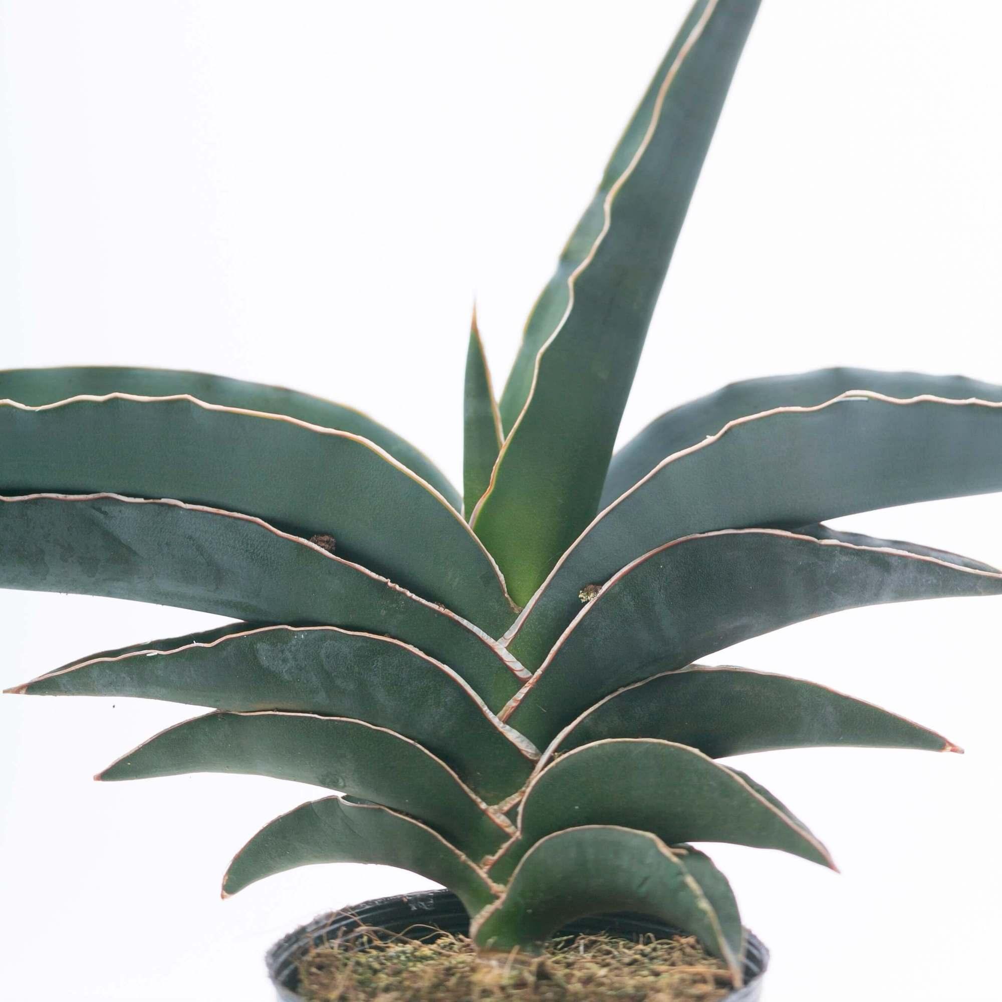 サンスベリア サムライ 観葉植物