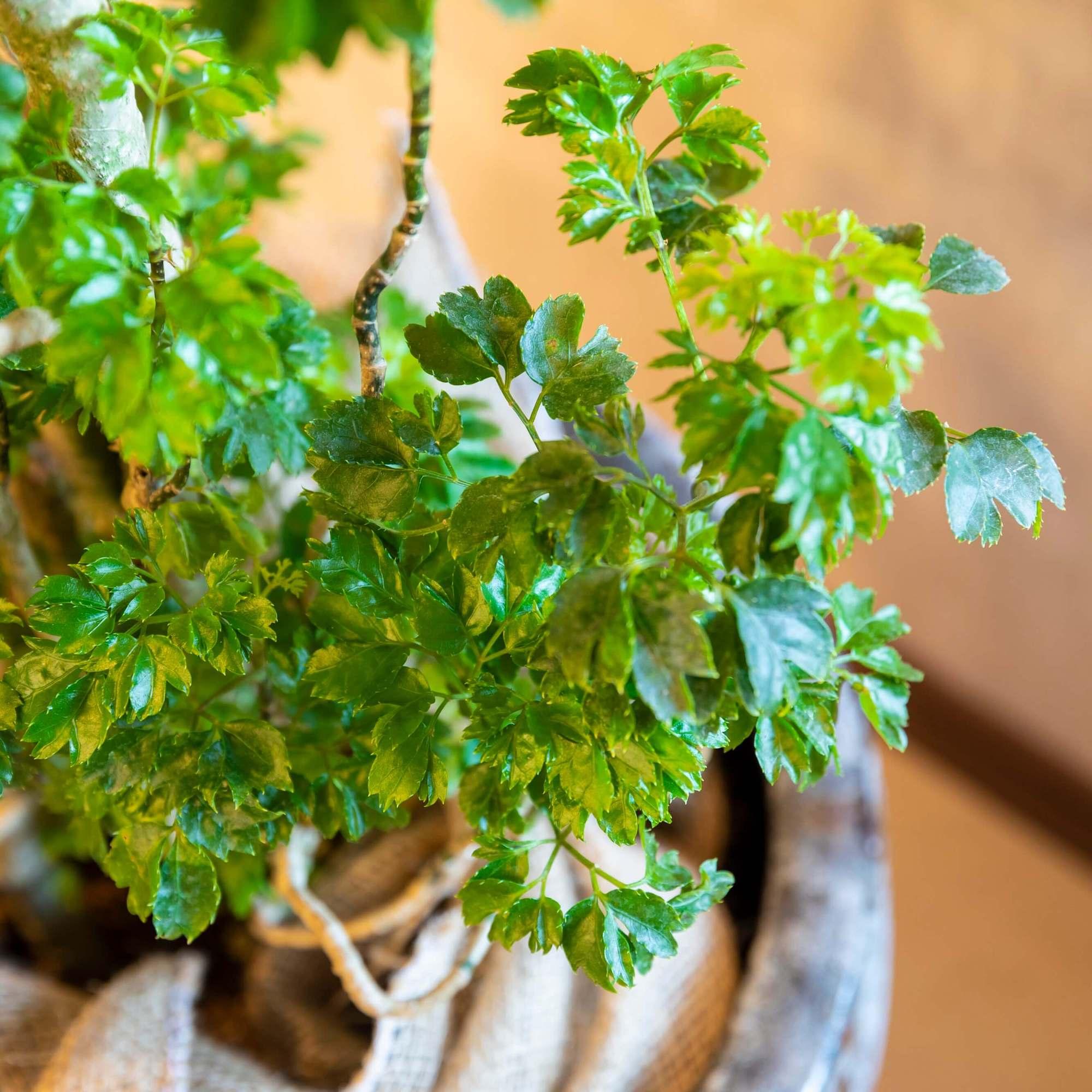 ポリシャスバタフライ 観葉植物