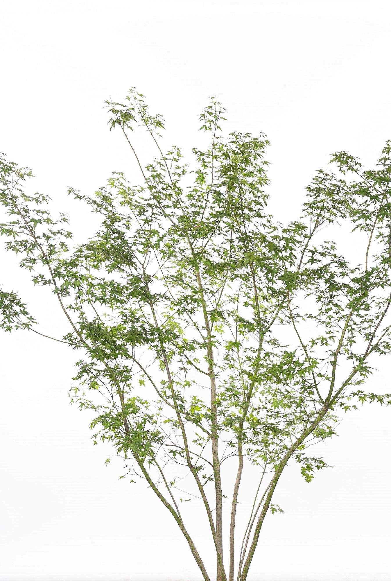 イロハモミジ 植栽 お庭 ガーデン