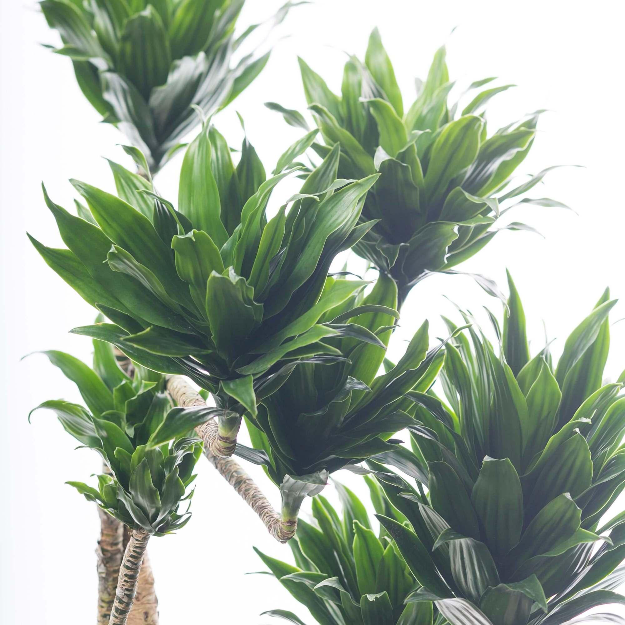 ドラセナ コンパクタ ドラセナ・コンパクタ 観葉植物