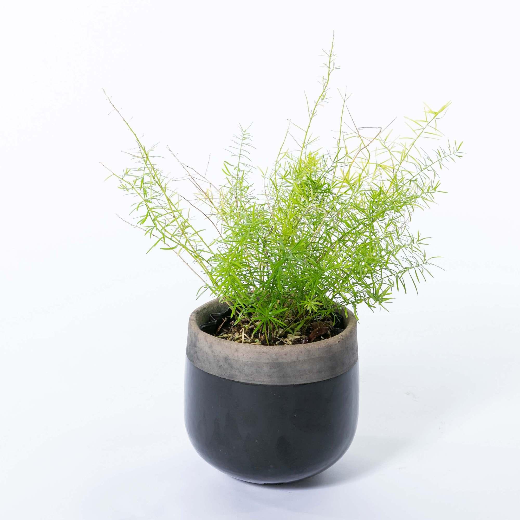 アスパラガス・スプレンゲリー アスパラガススプレンゲリー 植栽 常緑多年草