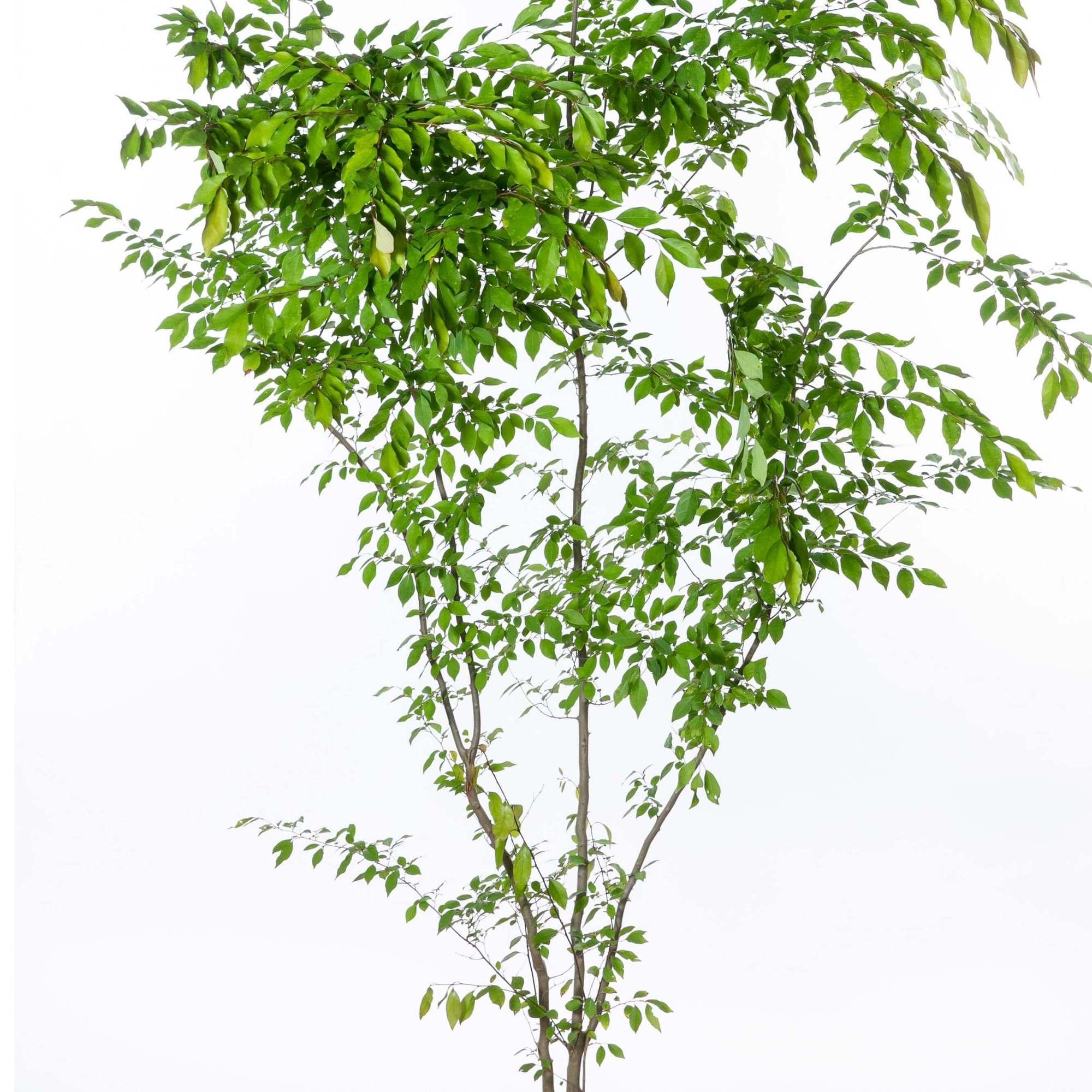 アブラチャン 落葉低木 クスノキ科 植栽