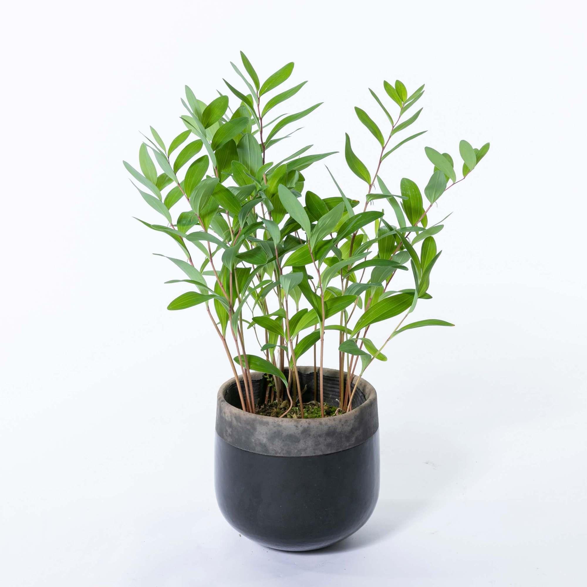 アマドコロ 落葉性多年草 ナルコラン 植栽 下草