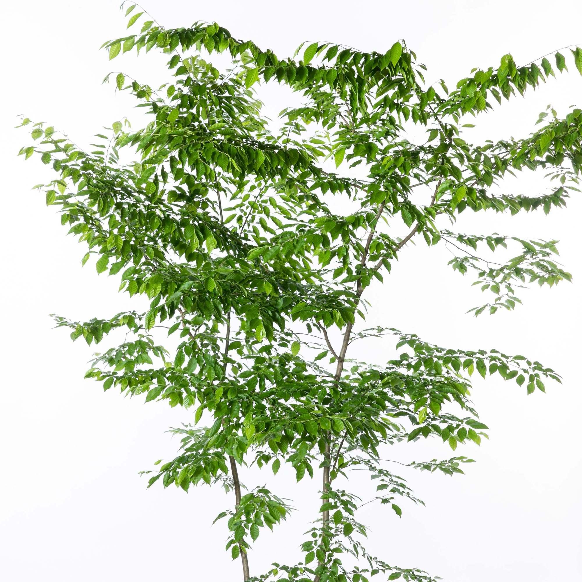 イヌシデ ソロ 落葉高木 庭木 植栽