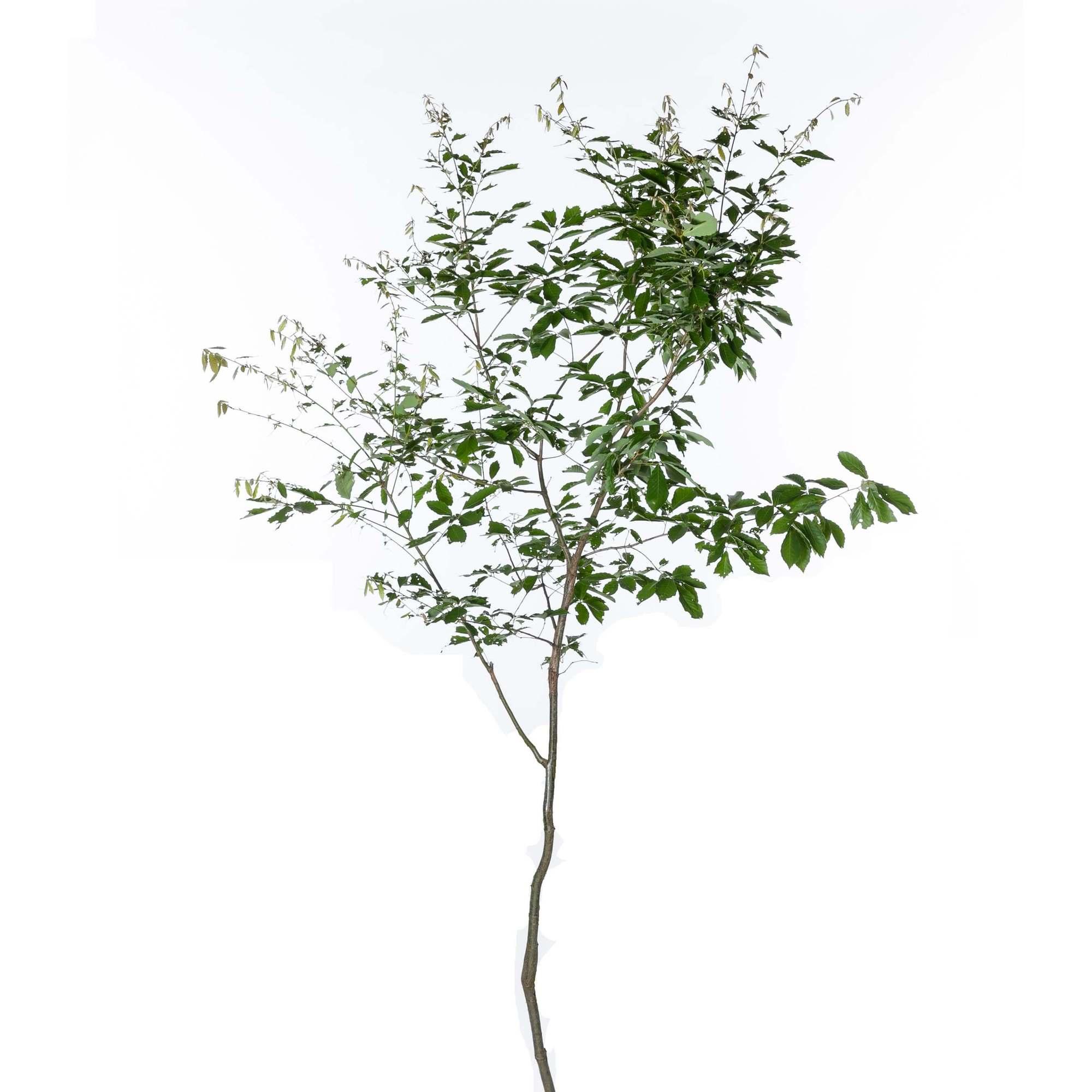 コナラ 落葉高木 雑木 ドングリ 植栽