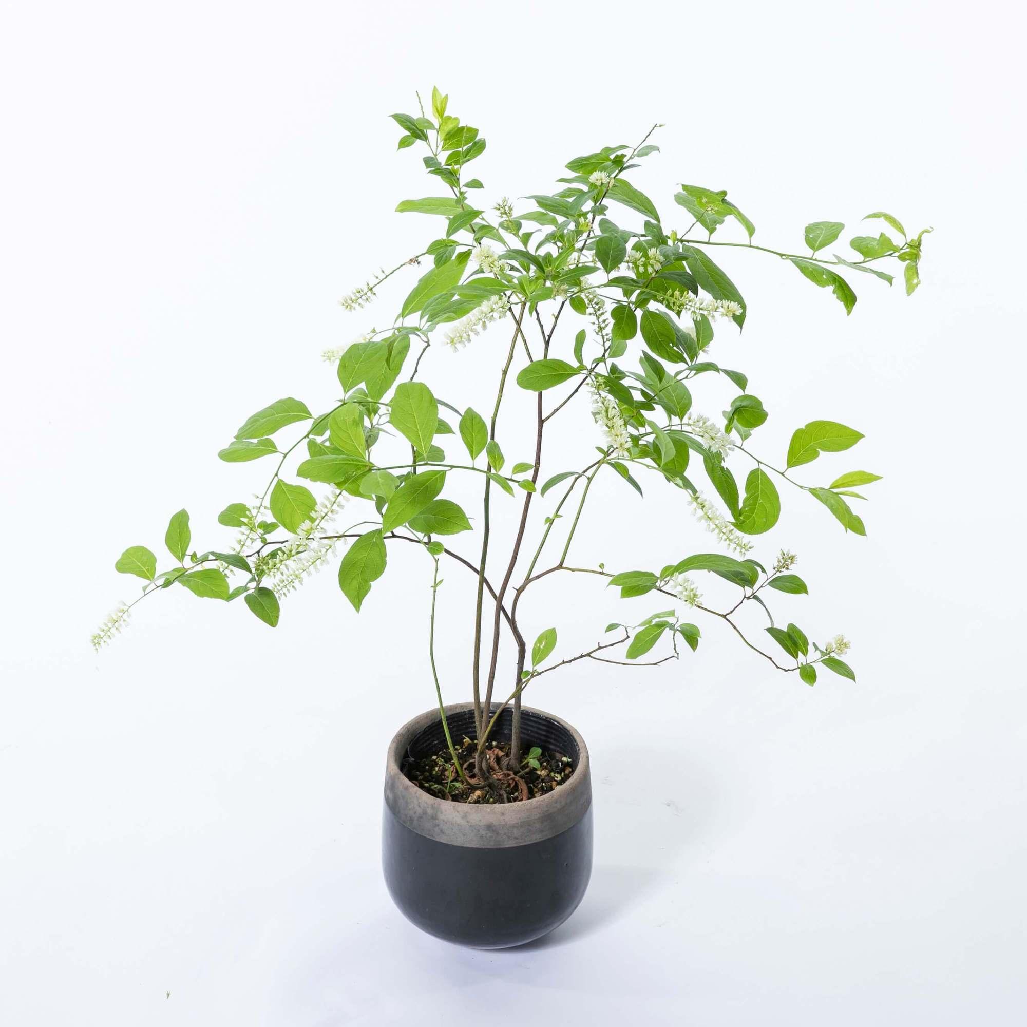 コバノズイナ 植栽 庭木 落葉低木 小葉の髄菜