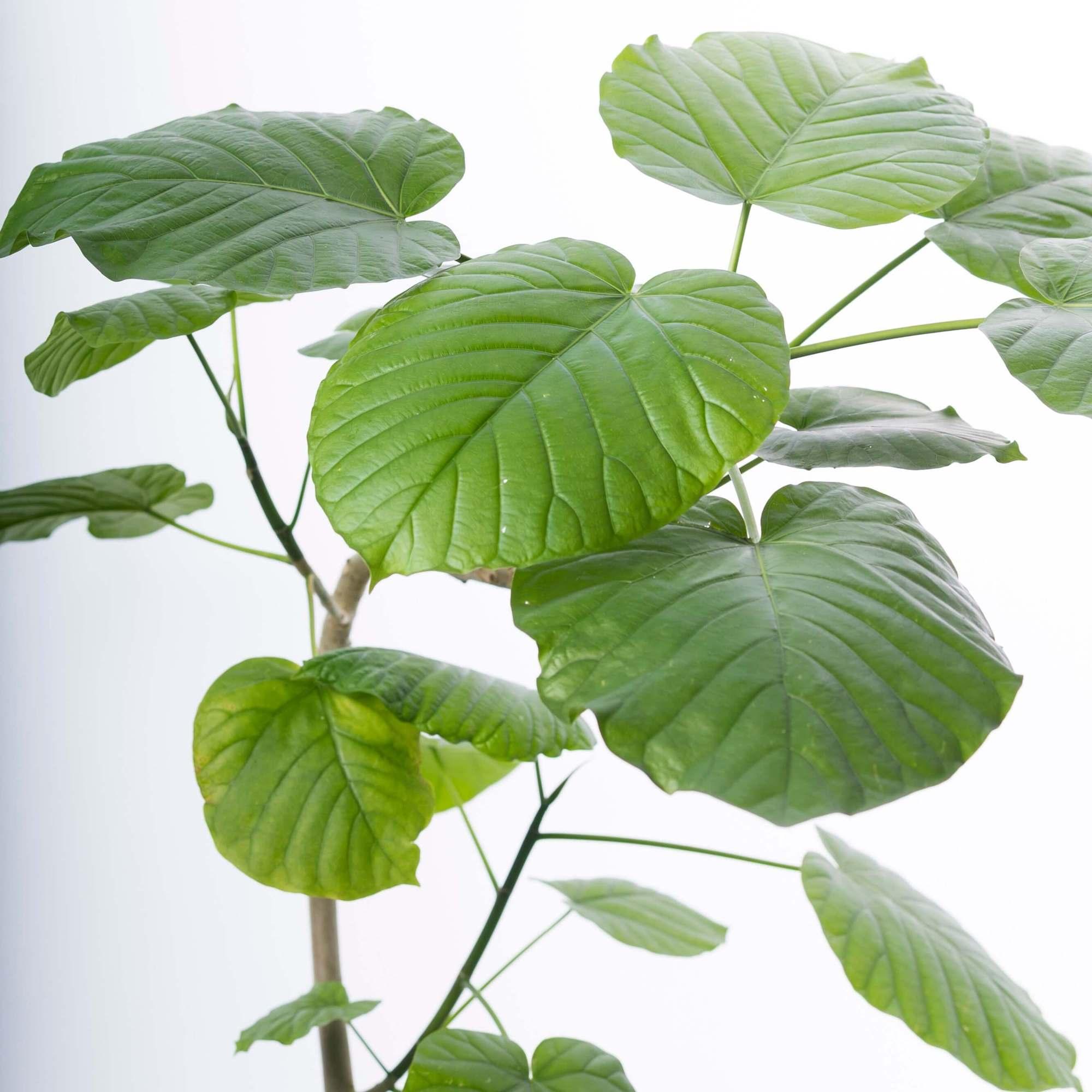 フィカス・ウンベラータ 観葉植物