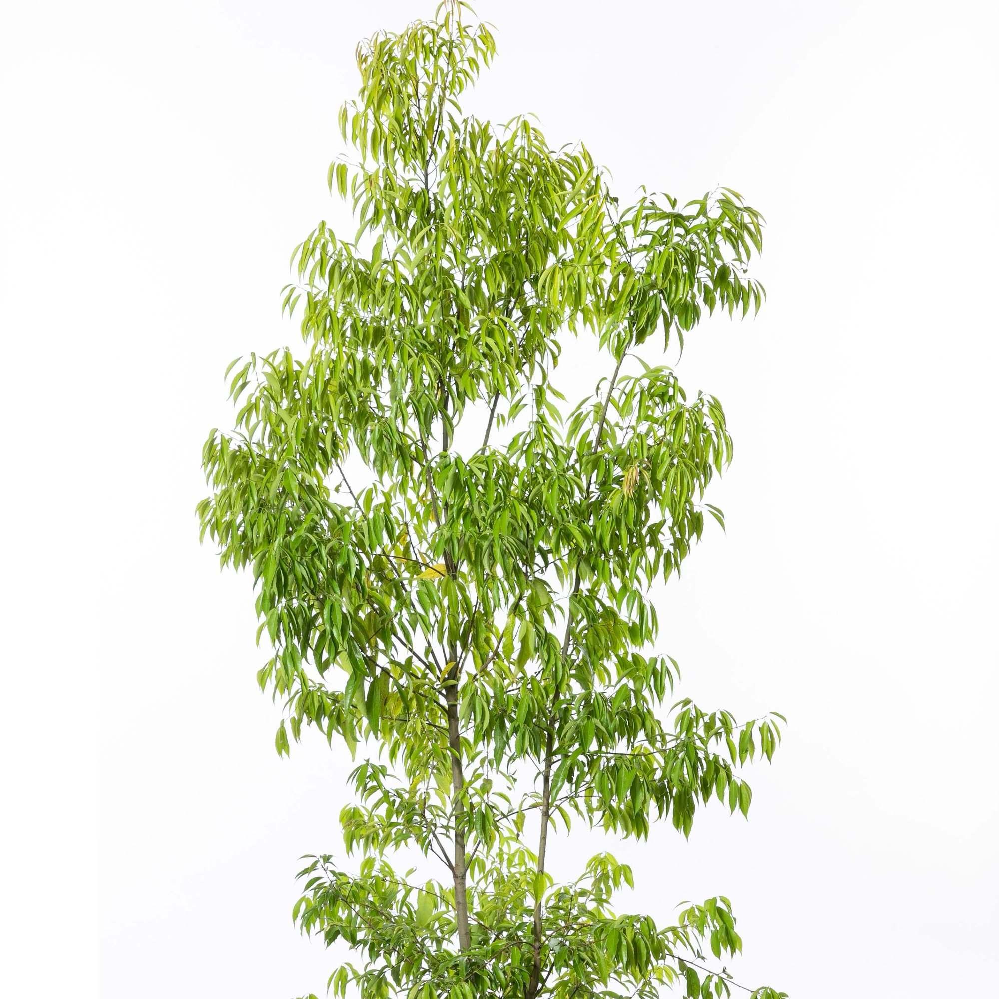 白樫 シラカシ 植栽 庭木 常緑高木