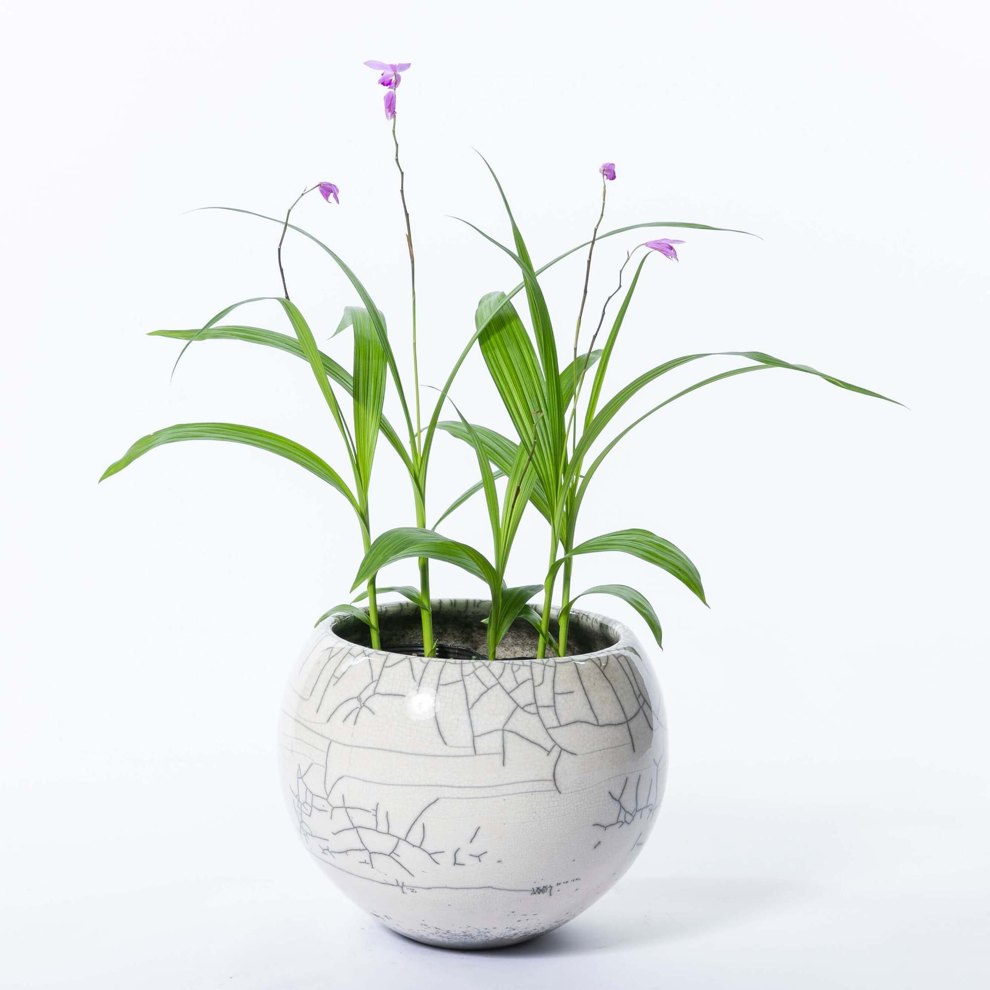 シラン 紫蘭 多年草 植栽 下草