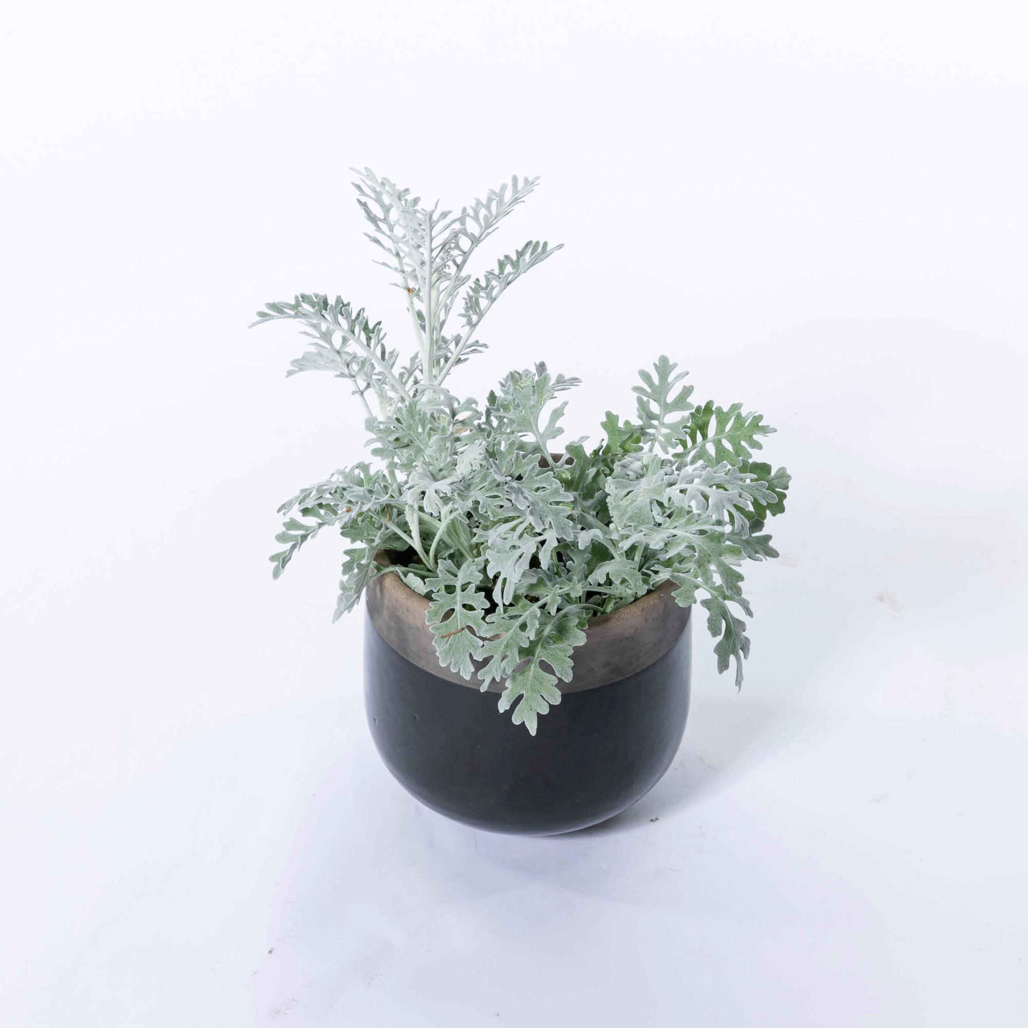 シロタエギク シルバーリーフ カラーリーフ 植栽 常緑多年草