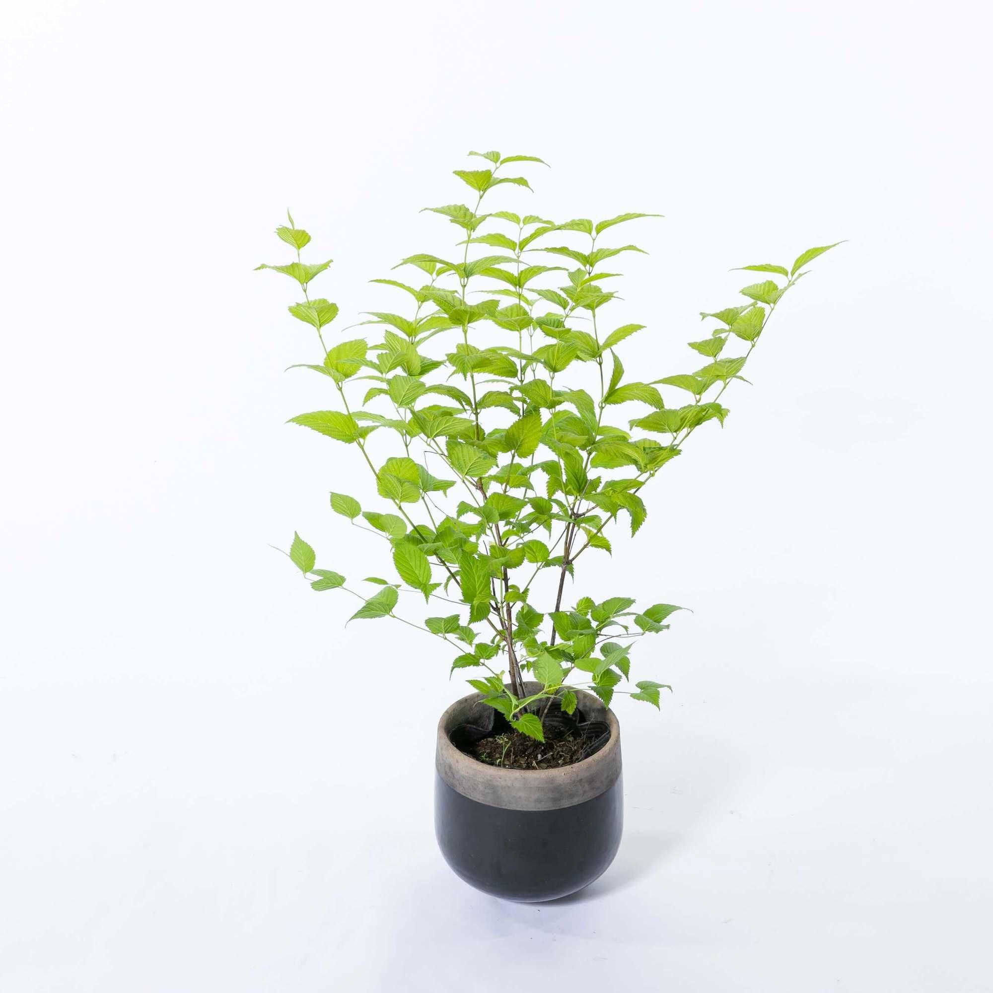 白山吹 シロヤマブキ 落葉低木 植栽 庭木