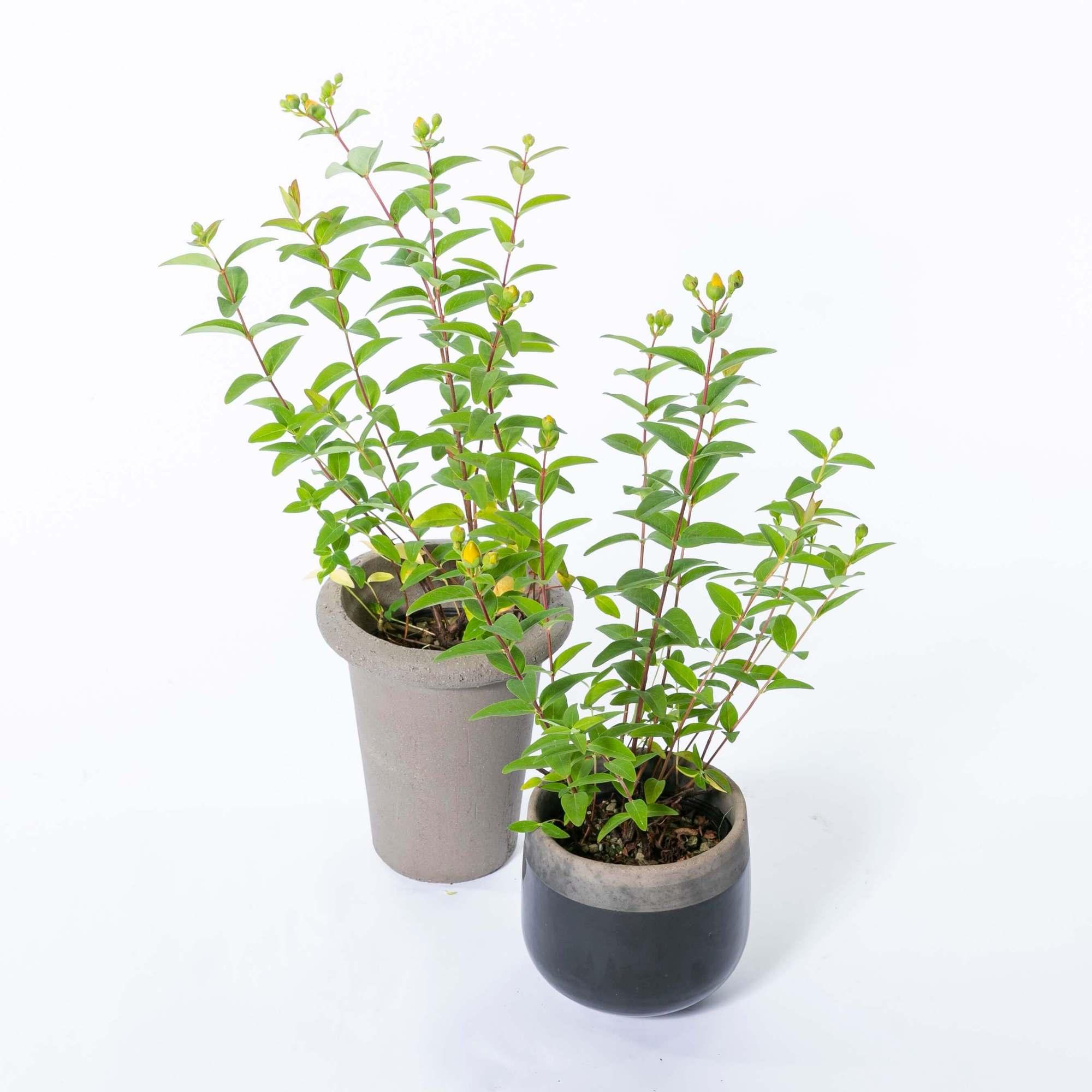 セイヨウキンシバイ 常緑低木 庭木 植栽 ヒペリカム・カリシナム