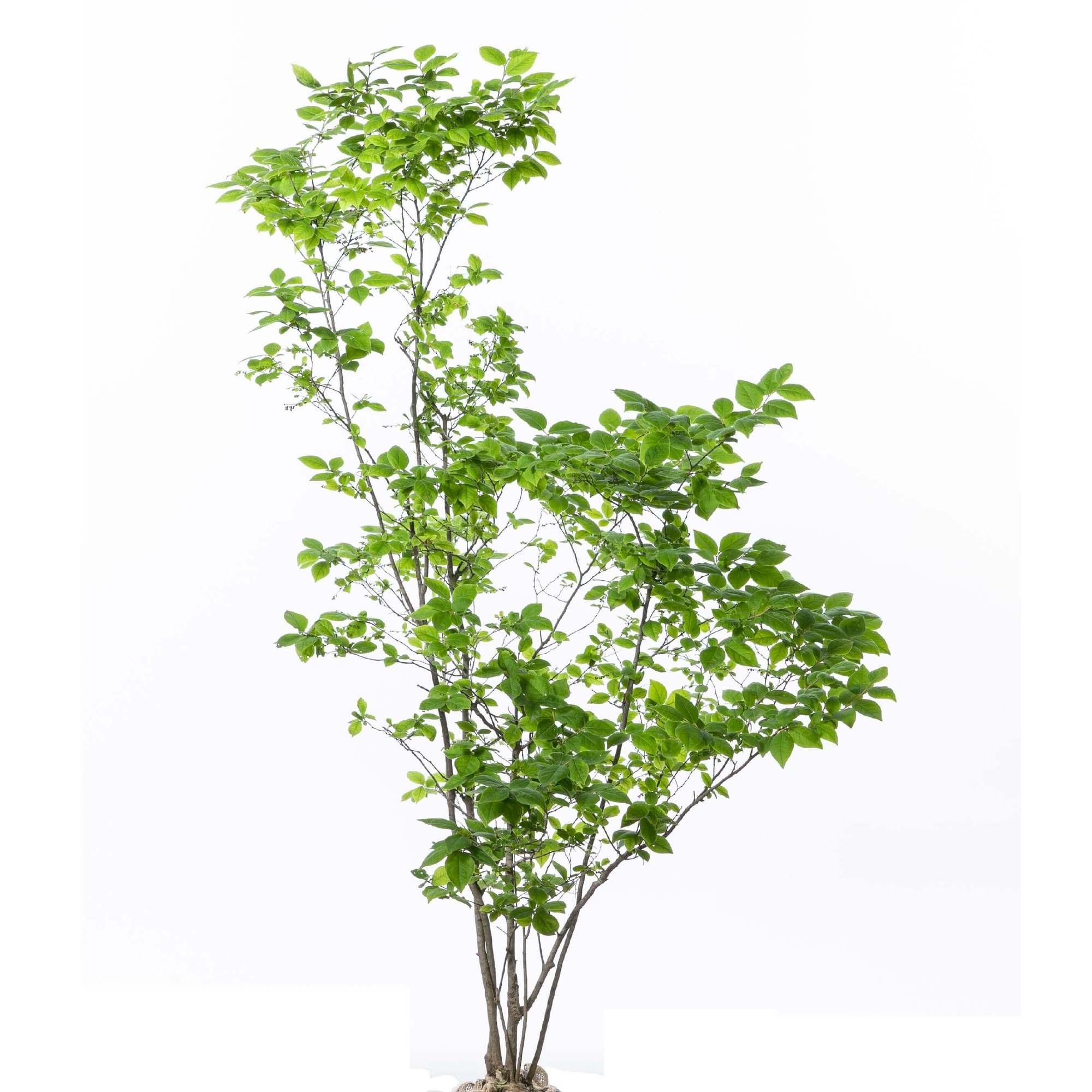 ナツハゼ 庭木 植栽 落葉中低木 夏櫨