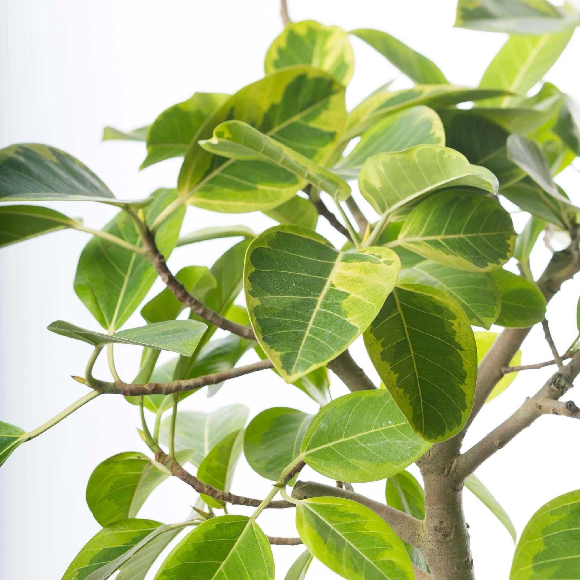 フィカス・アルテシマ 観葉植物