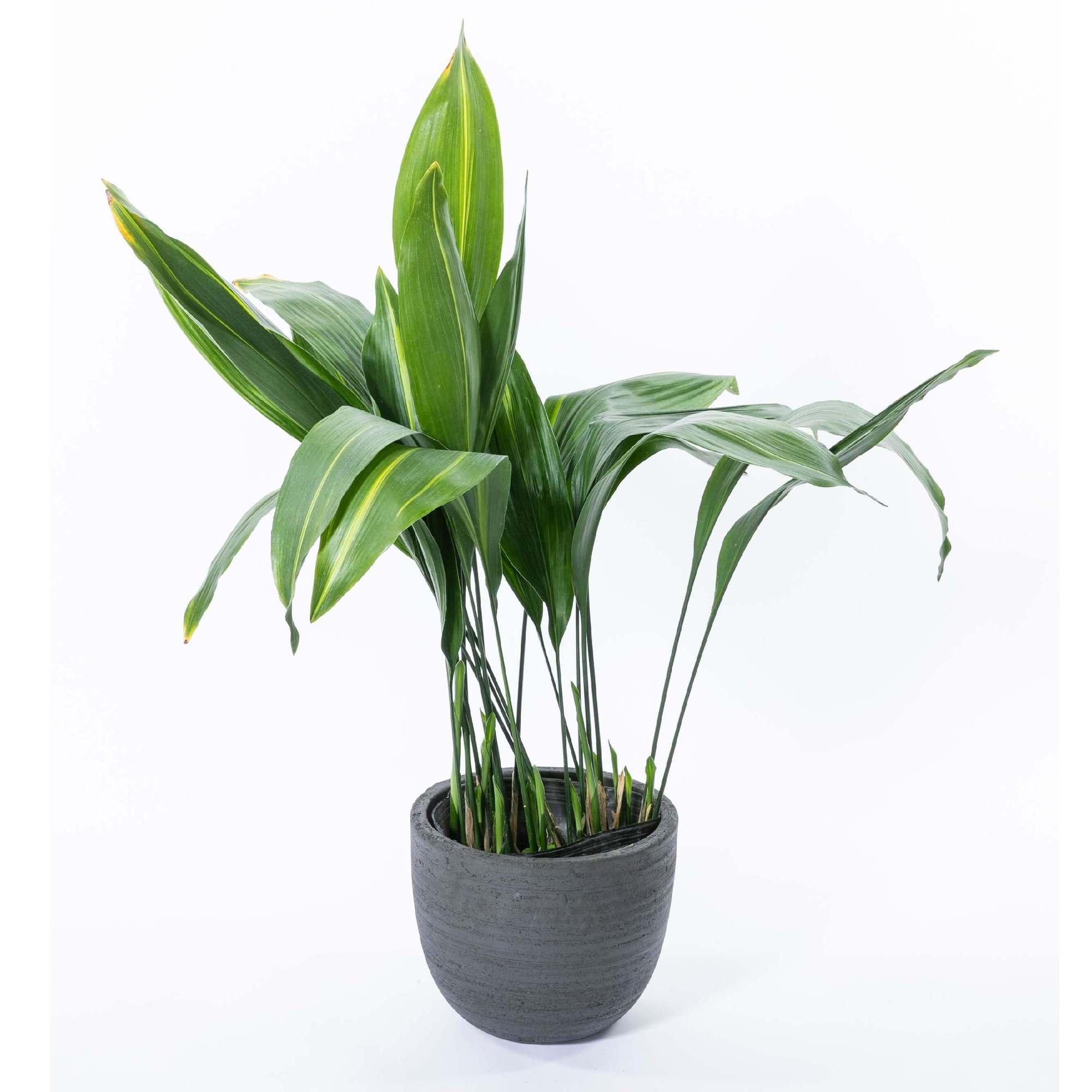 ハラン 観葉植物 植栽 常緑多年草
