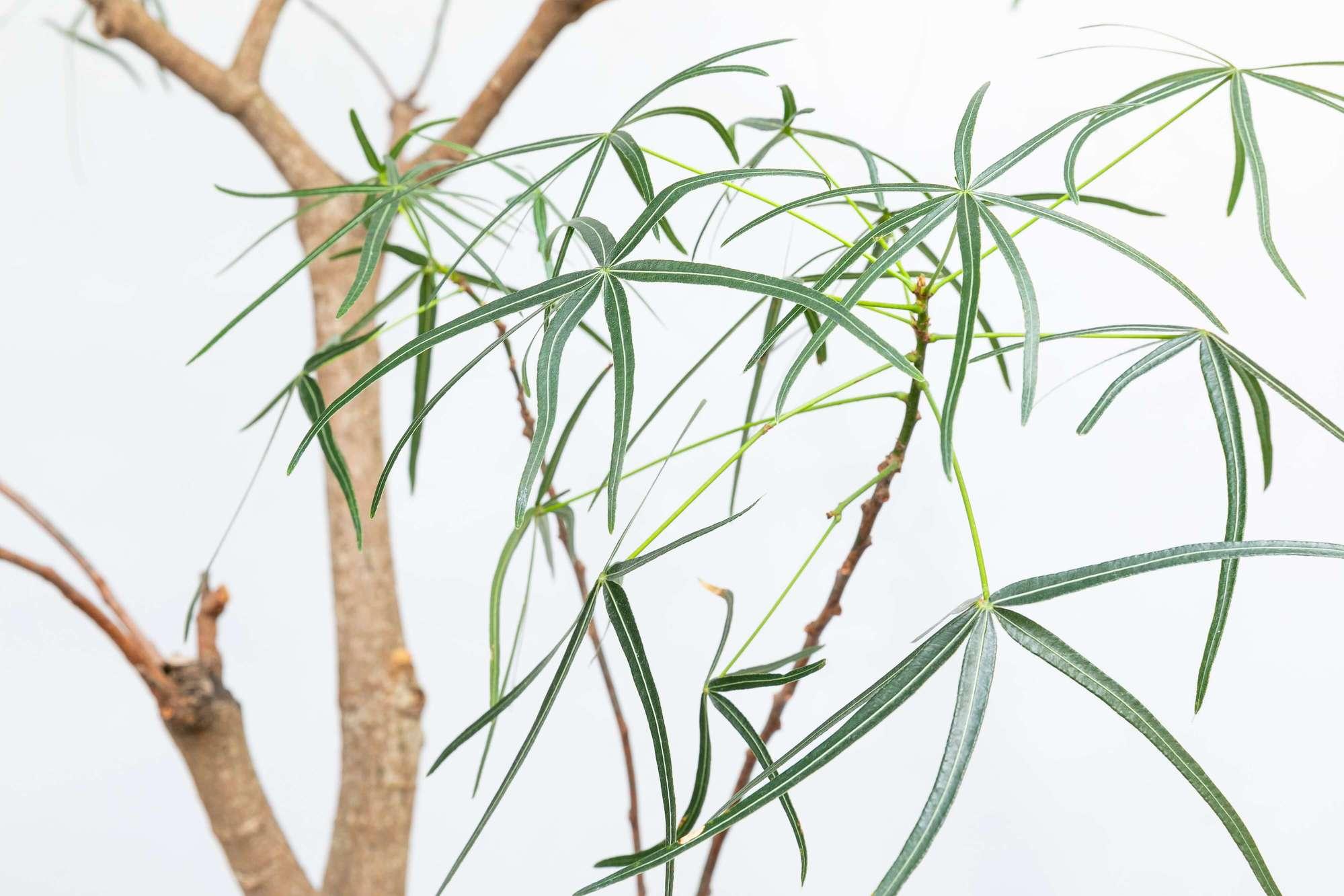 ブラキチトン・ルペストリス ボトルツリー 観葉植物 インテリアグリーン