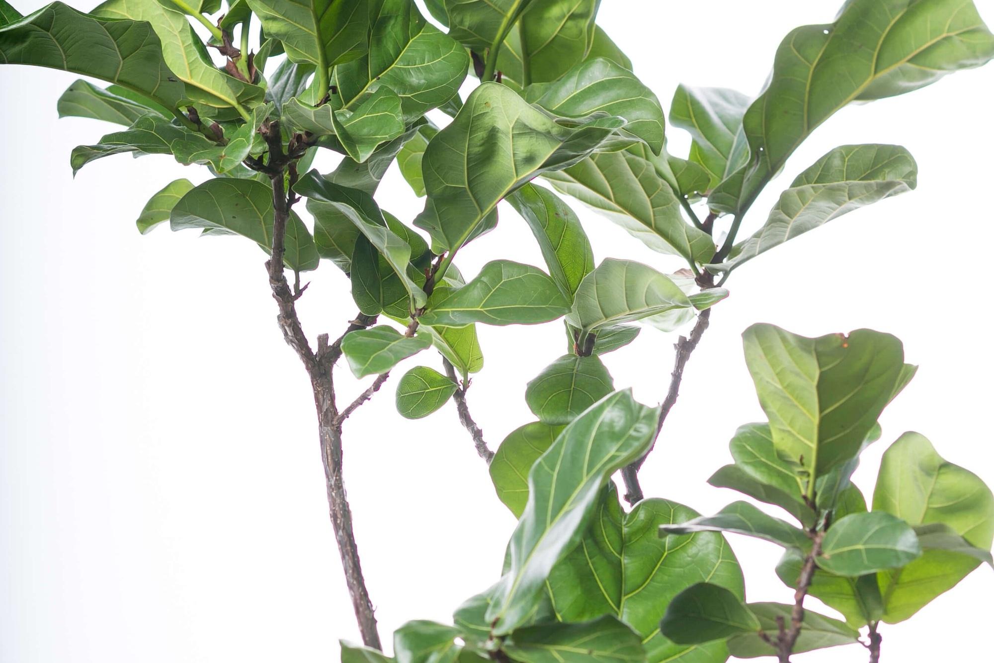 カシワバゴムノキ(フィカス・リラータ) 観葉植物