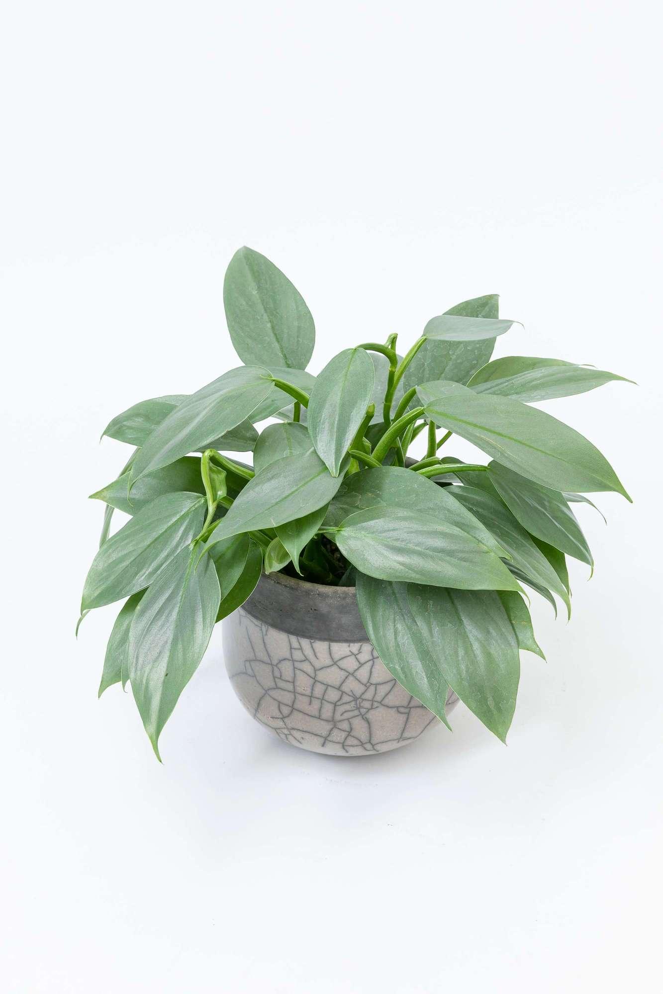 フィロデンドロン・シルバーメタル シルバーメタル 観葉植物 サトイモ科