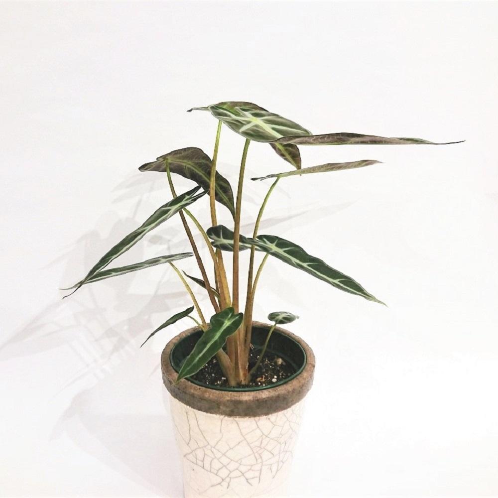 アロカシア アロカシア・アマゾニカ 観葉植物 グリーン インテリア