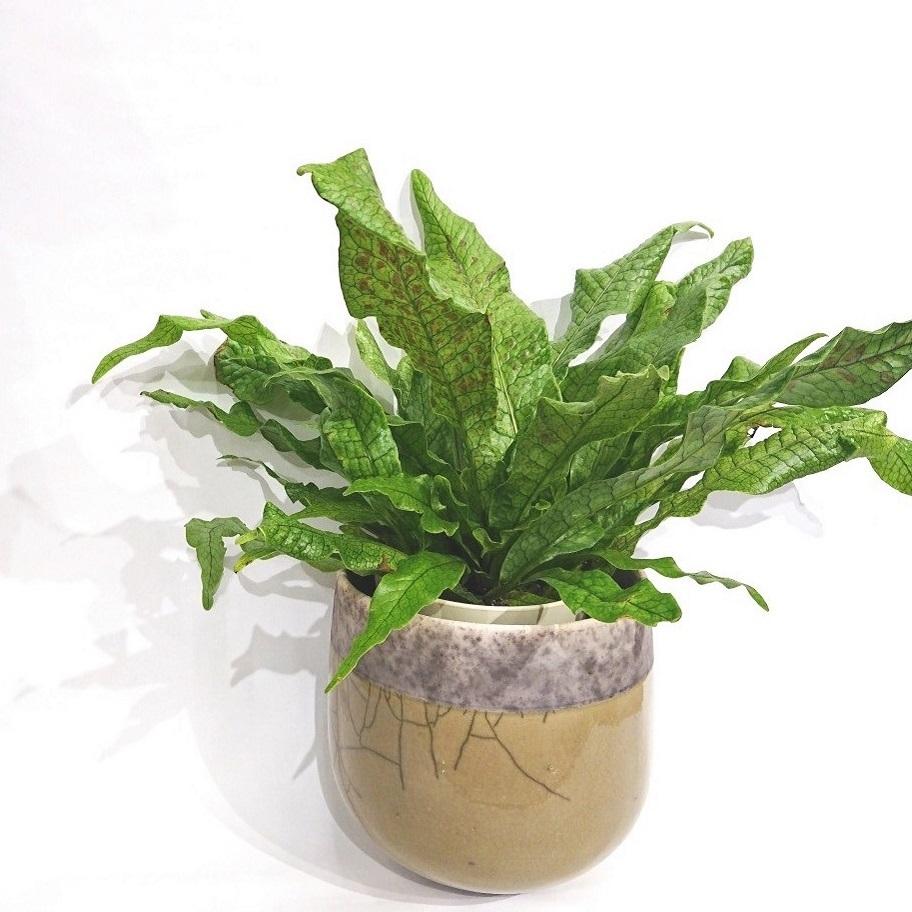 クロコダイルファーン シダ植物 インテリア 観葉植物 グリーン