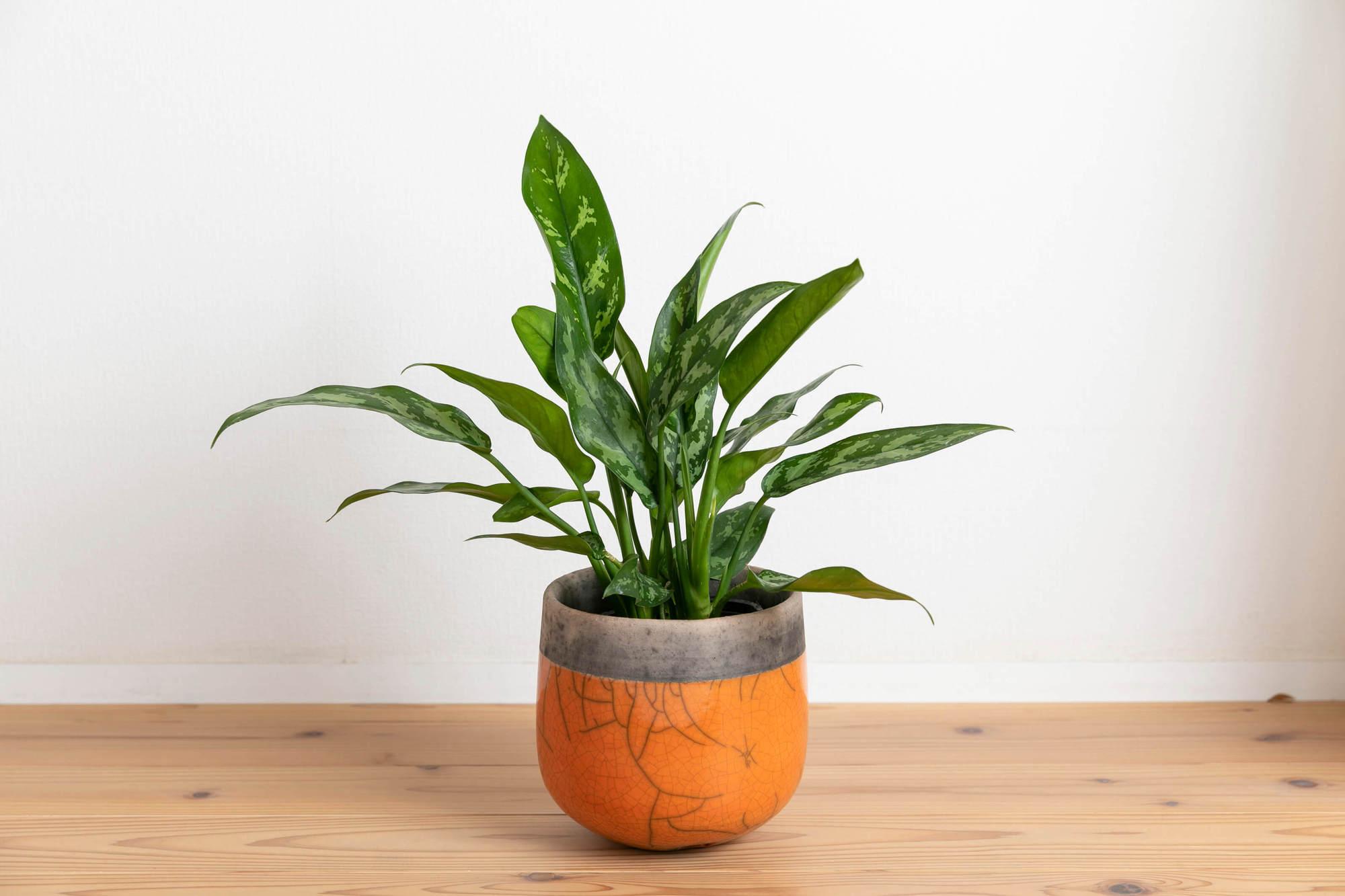 アグラオネマ・マリア 観葉植物