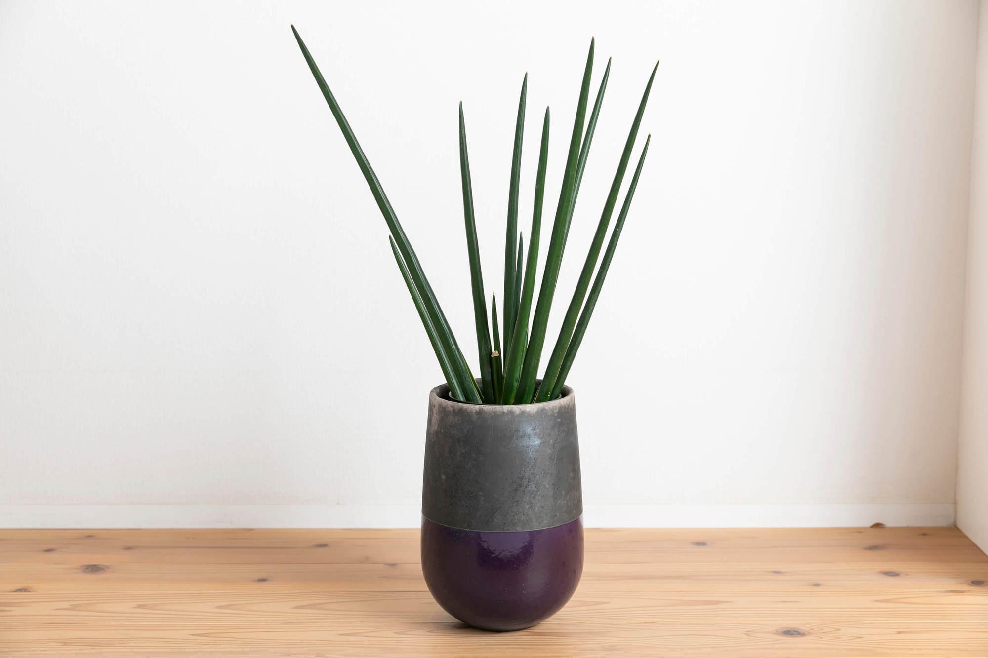 サンセベリア・エリスラエ 観葉植物