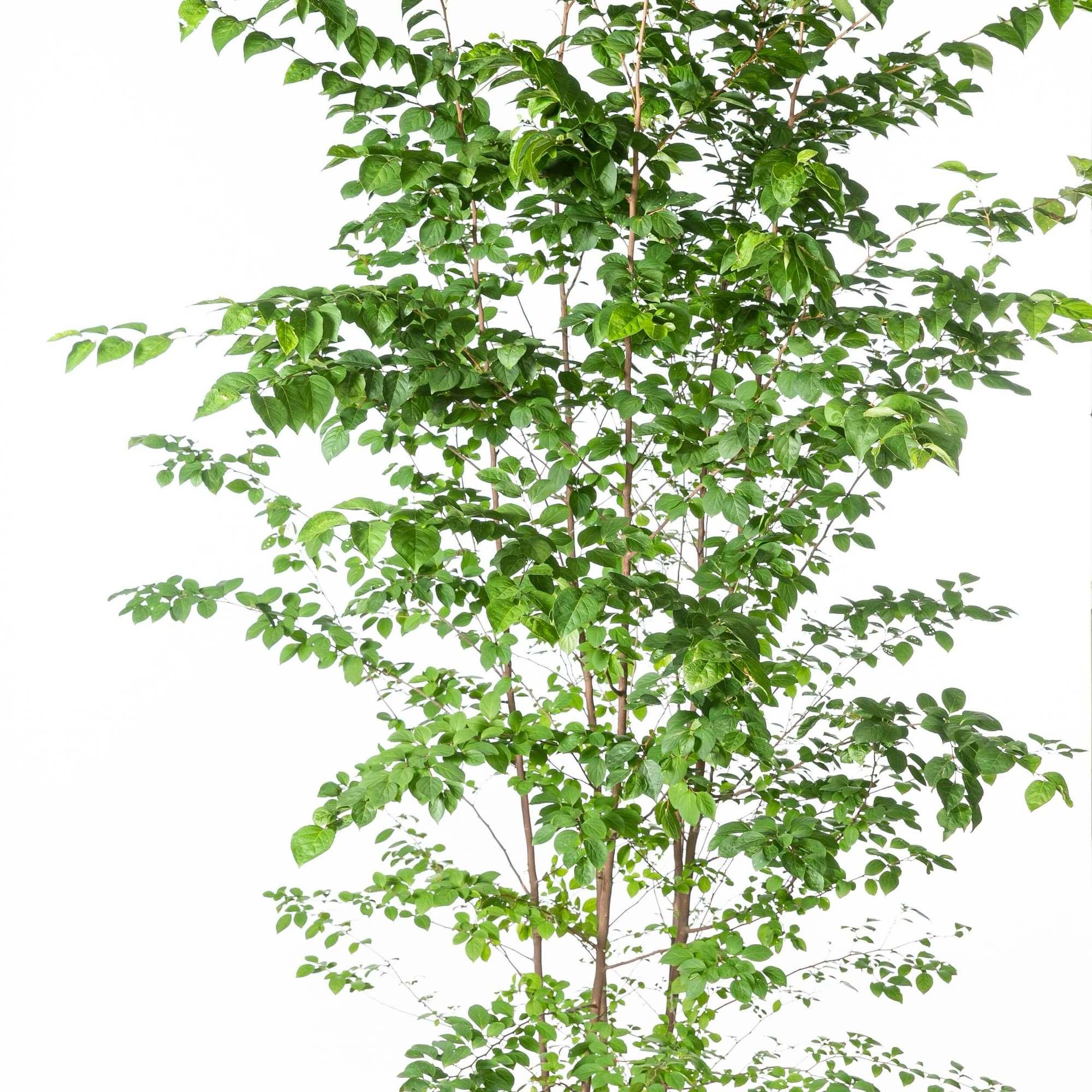 エゴノキ(野茉莉)植栽 お庭 ガーデン