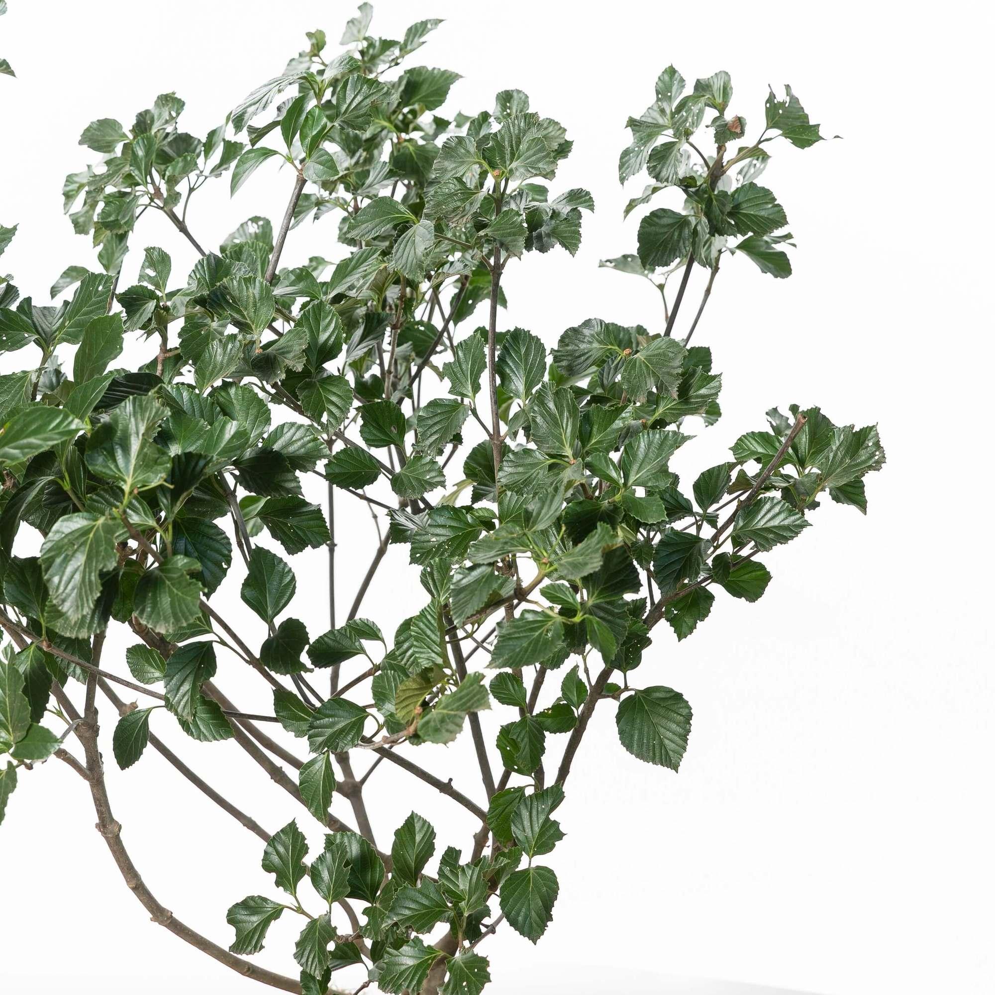 ハクサンボク(白山木)植栽 お庭 ガーデン