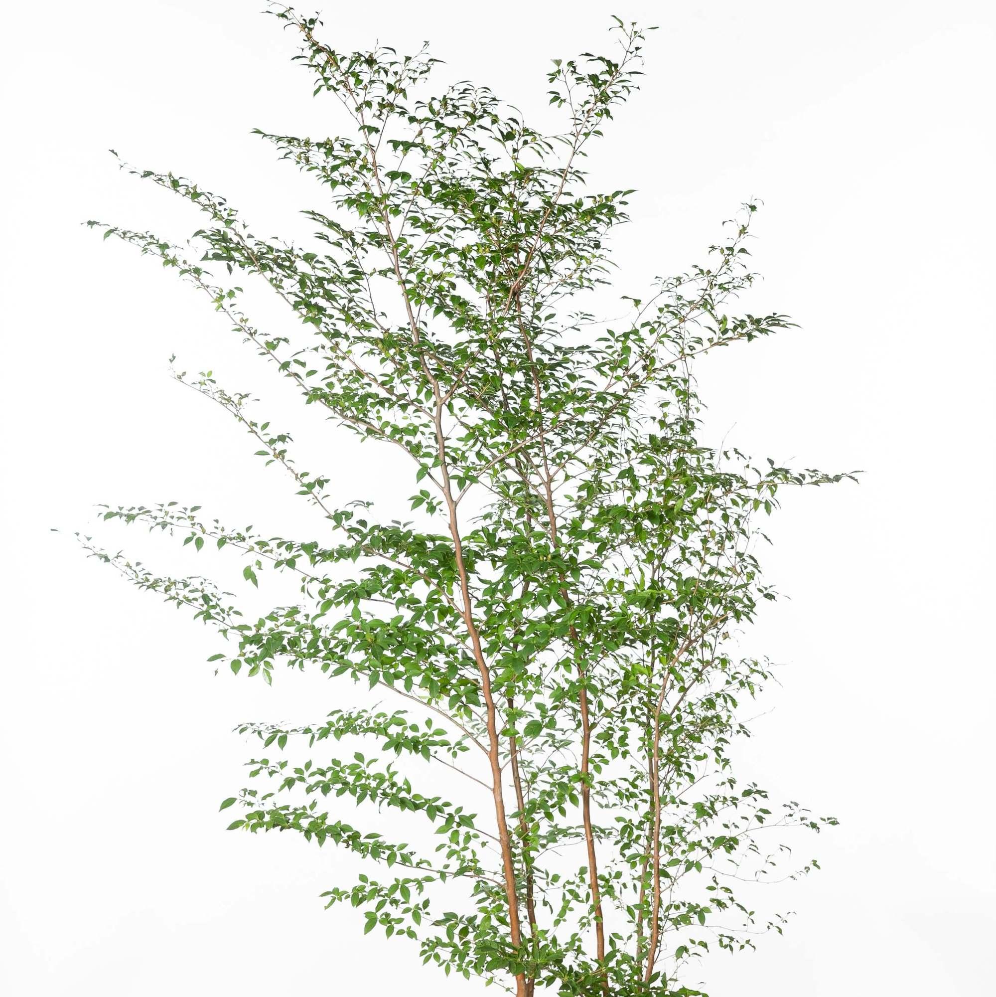 ヒメシャラ(姫沙羅)植栽 お庭 ガーデン