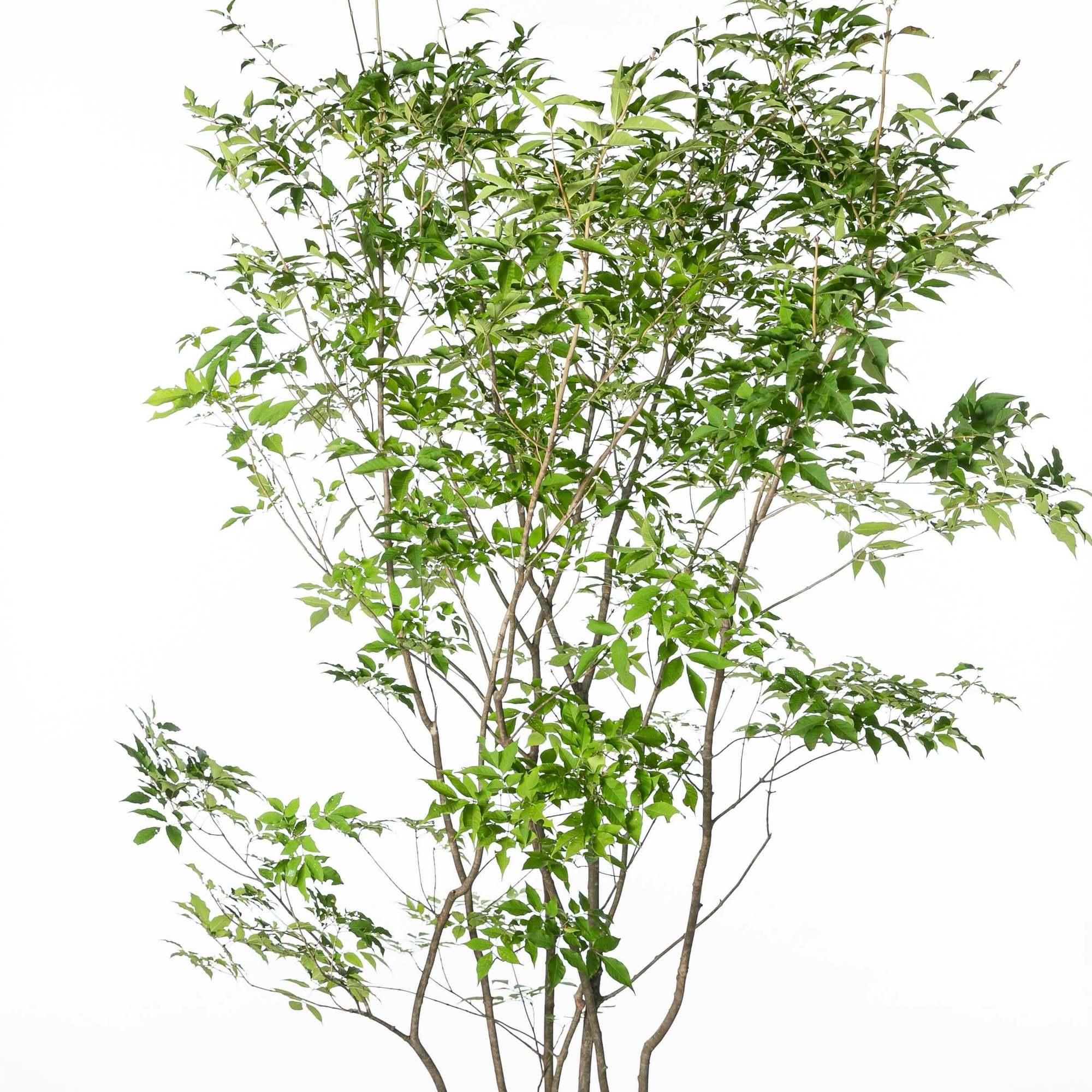 アオダモ(青梻)植栽 お庭 ガーデン