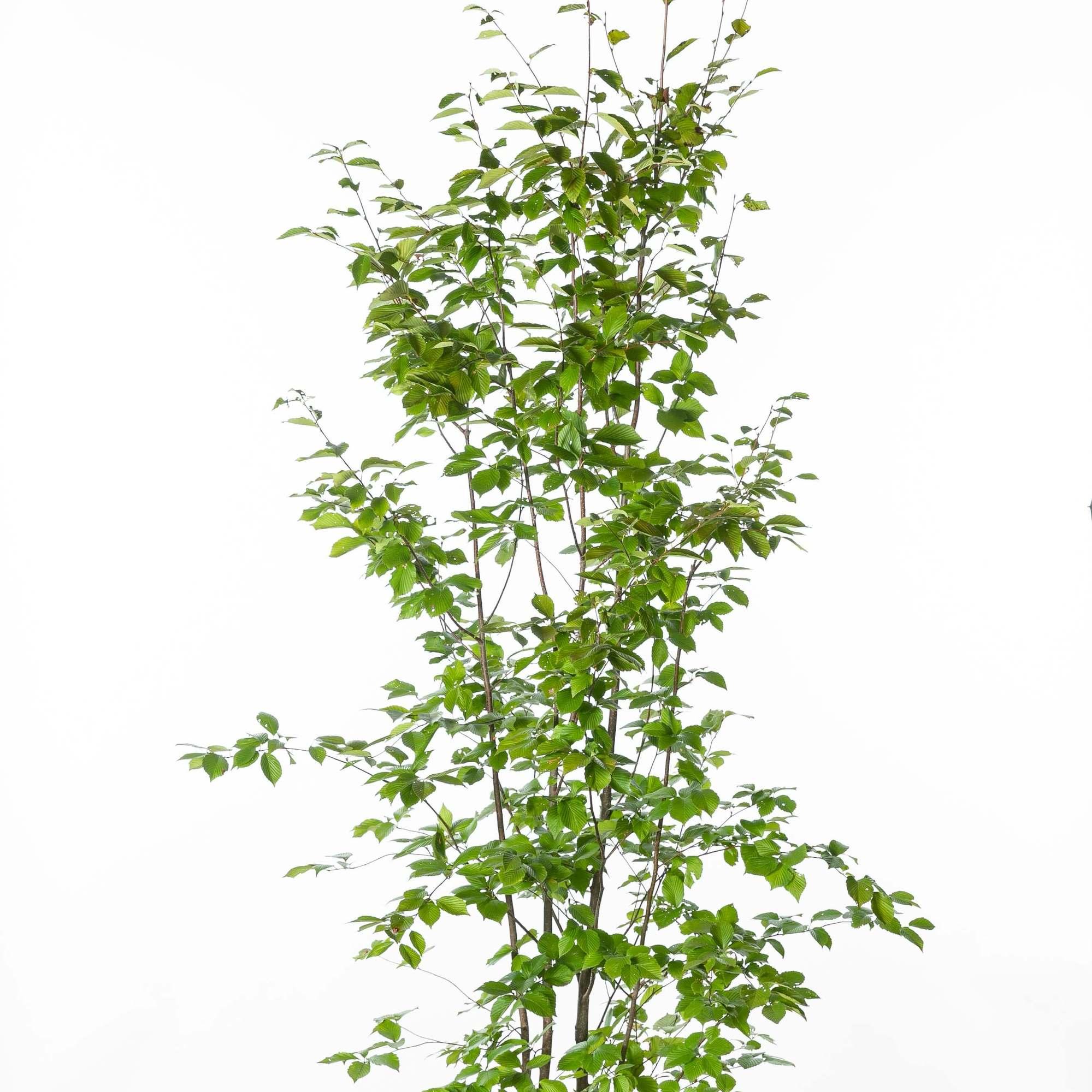 アズキナシ(小豆梨)植栽 お庭 ガーデン