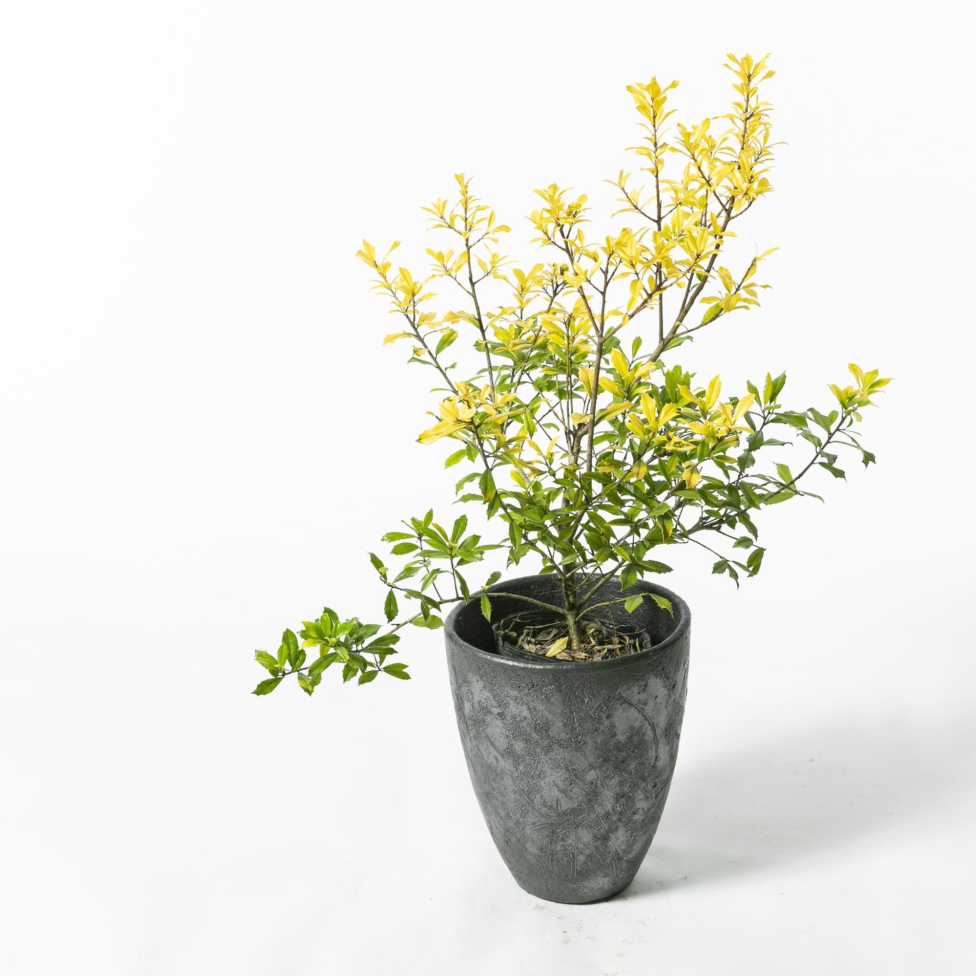 イレックス サニーフォスター 植栽 お庭 ガーデン