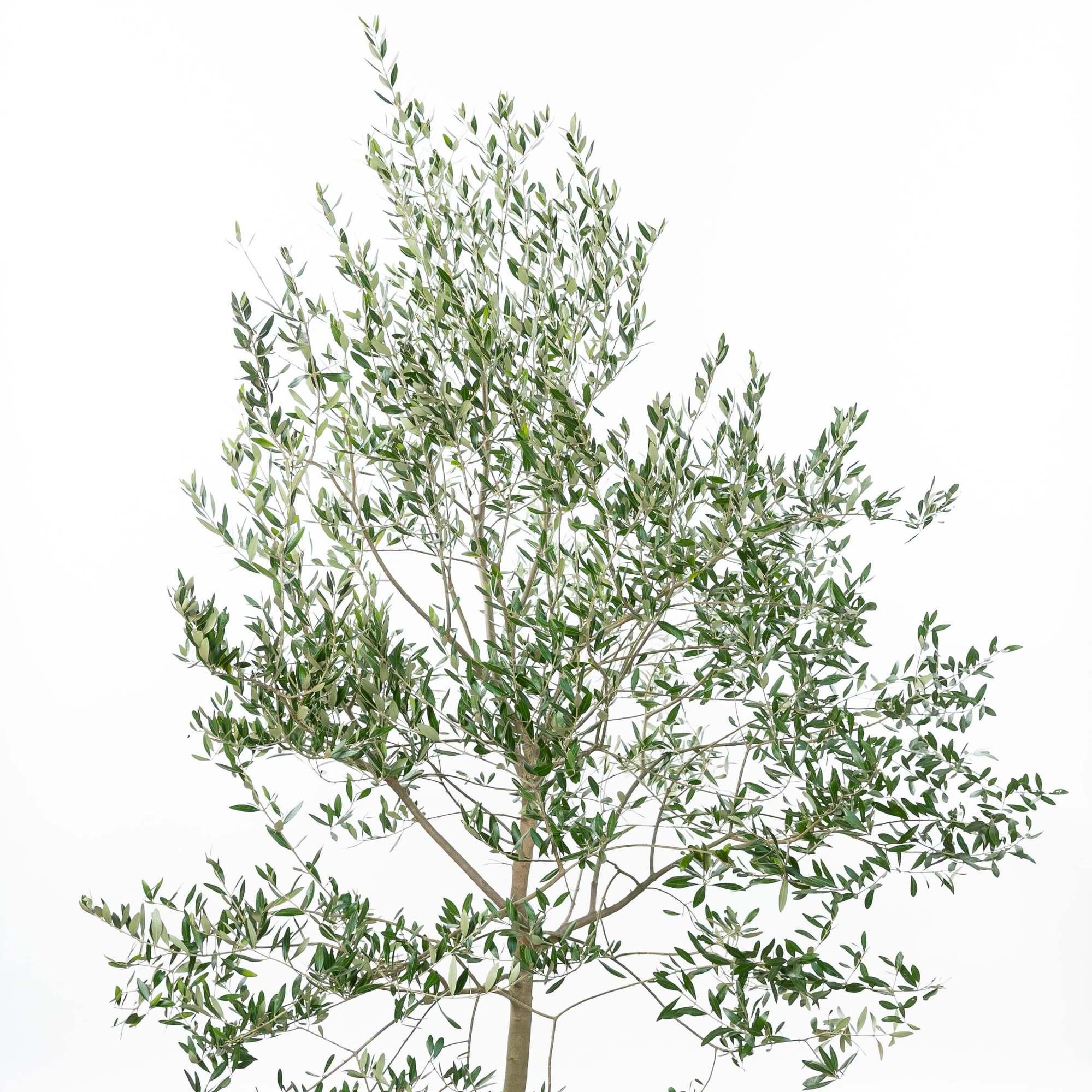 オリーブ(橄欖)植栽 お庭 ガーデン