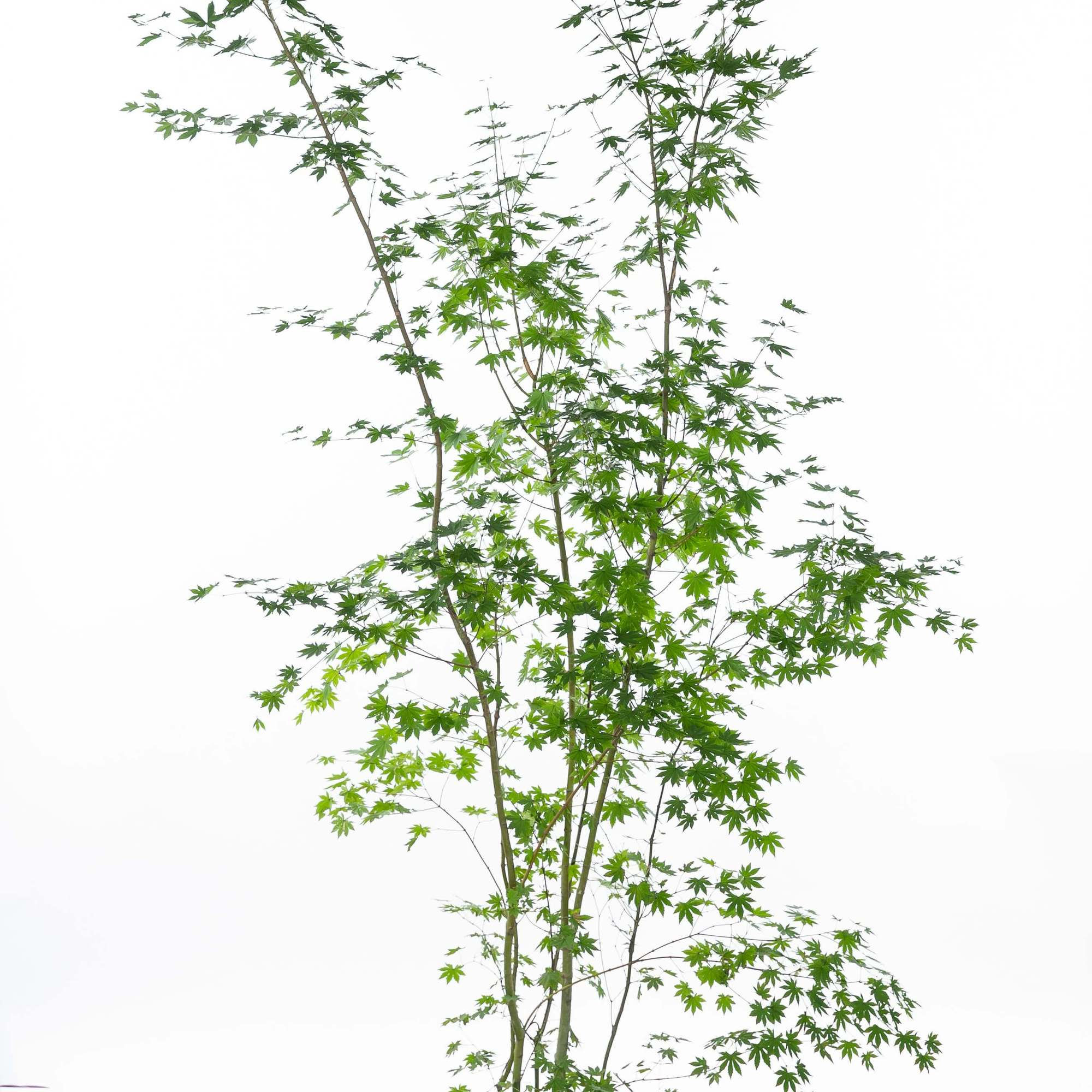 コハウチワカエデ(小羽団扇楓)植栽 お庭 ガーデン