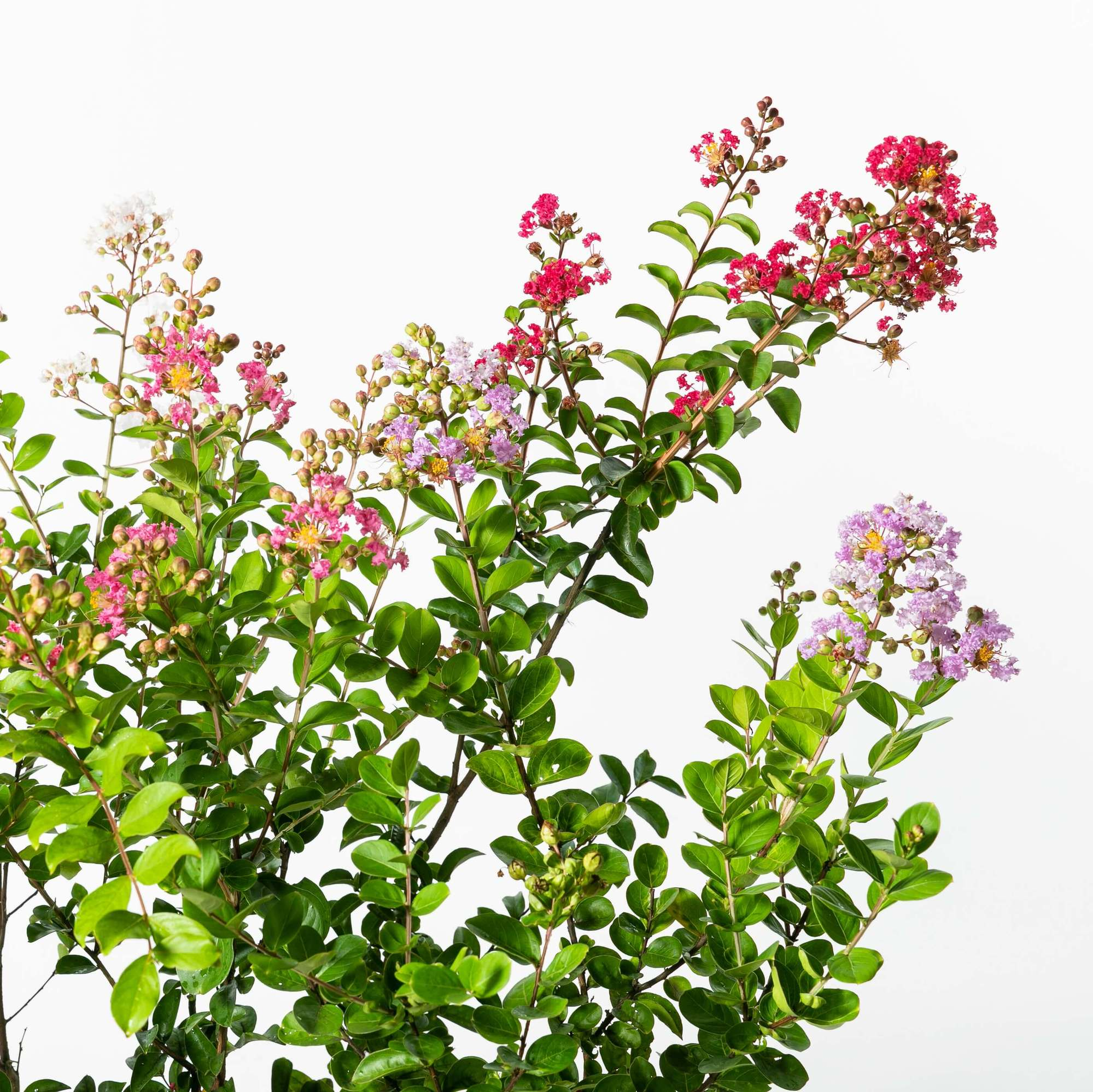 サルスベリ(百日紅)植栽 お庭 ガーデン