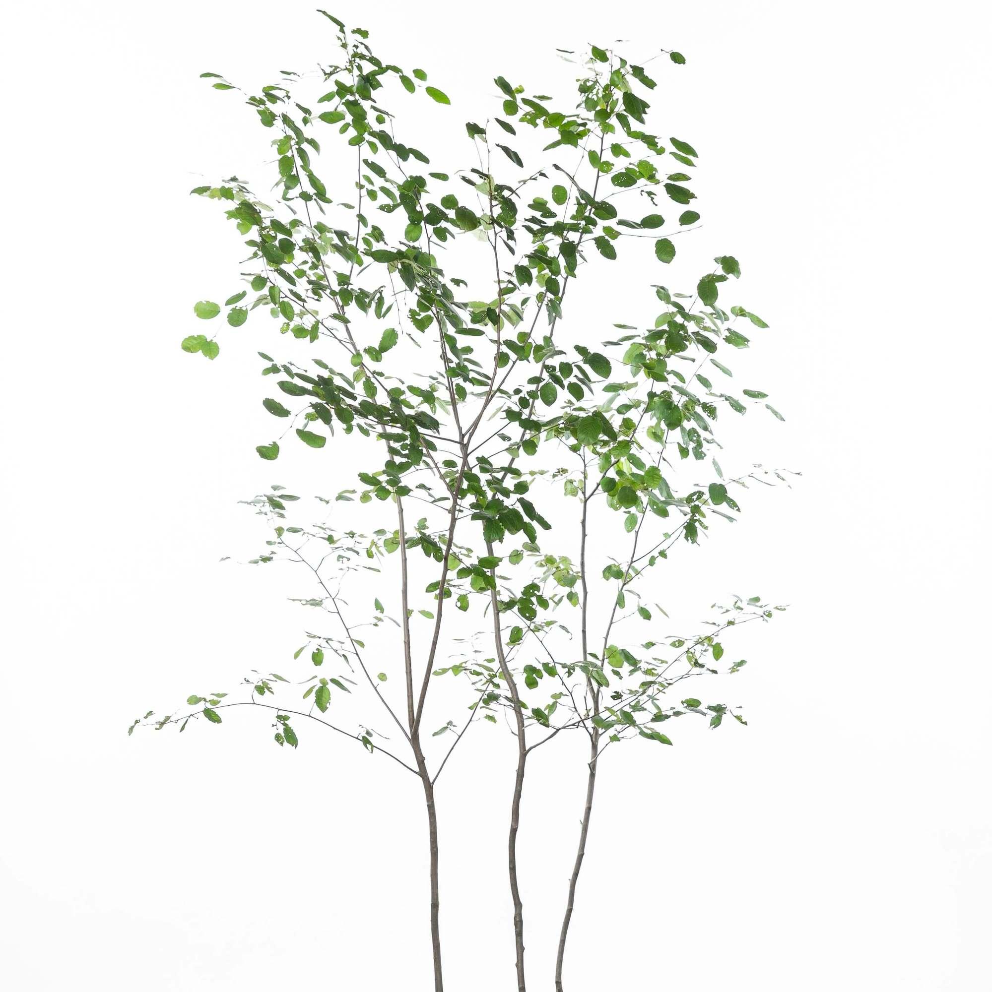 ジューンベリー 植栽 お庭 ガーデン