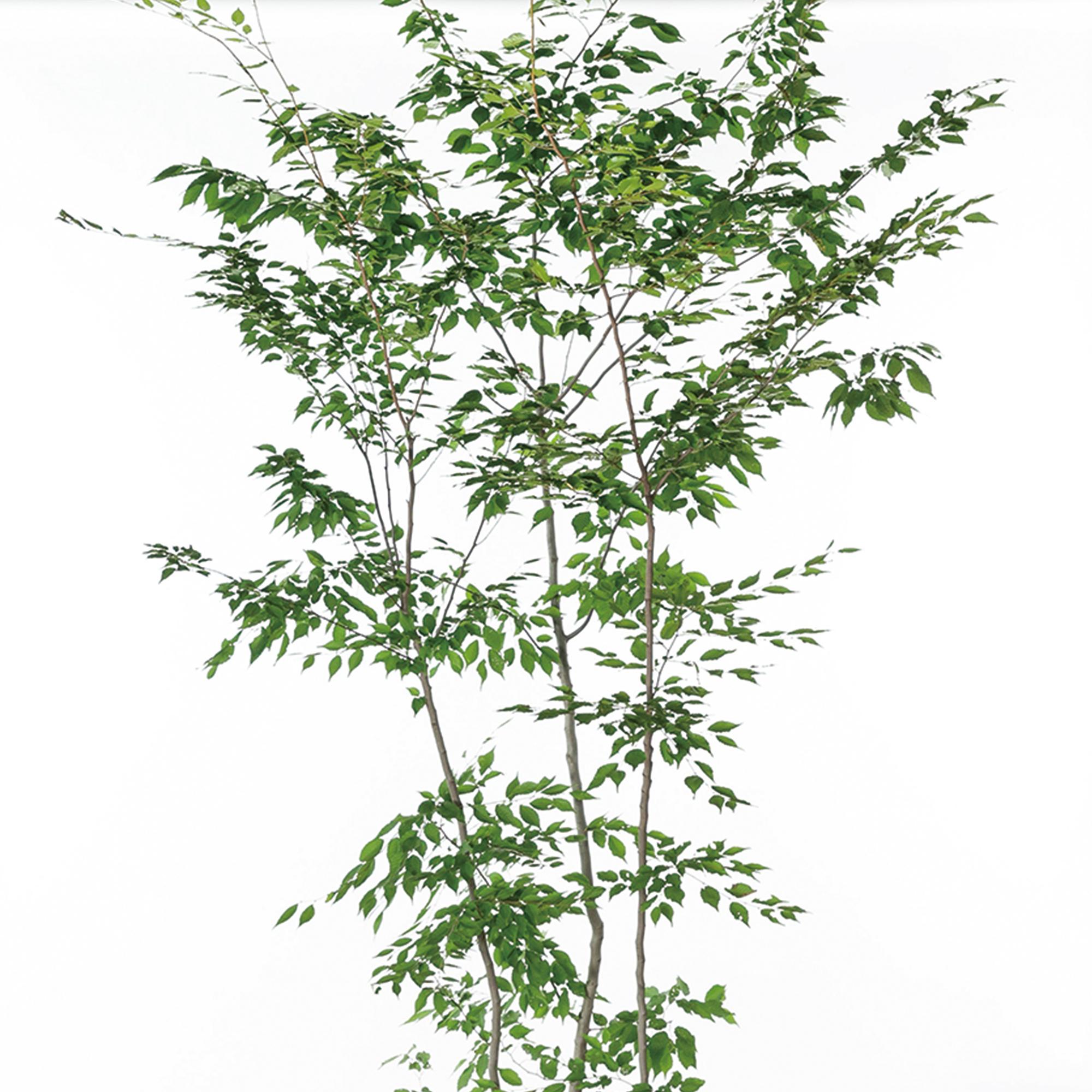 アカシデ(赤紙垂)植栽 お庭 ガーデン