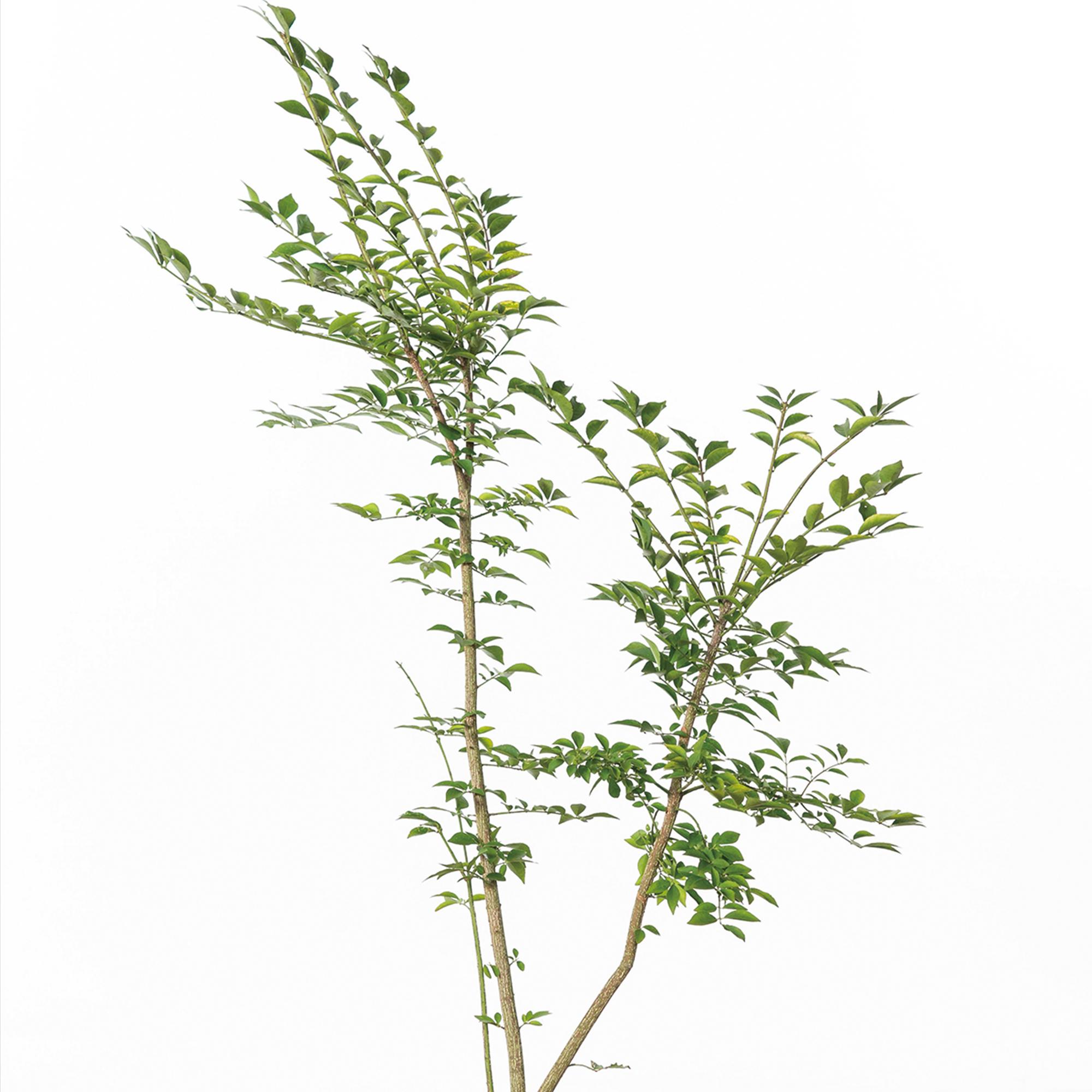 コマユミ(小真弓)植栽 お庭 ガーデン