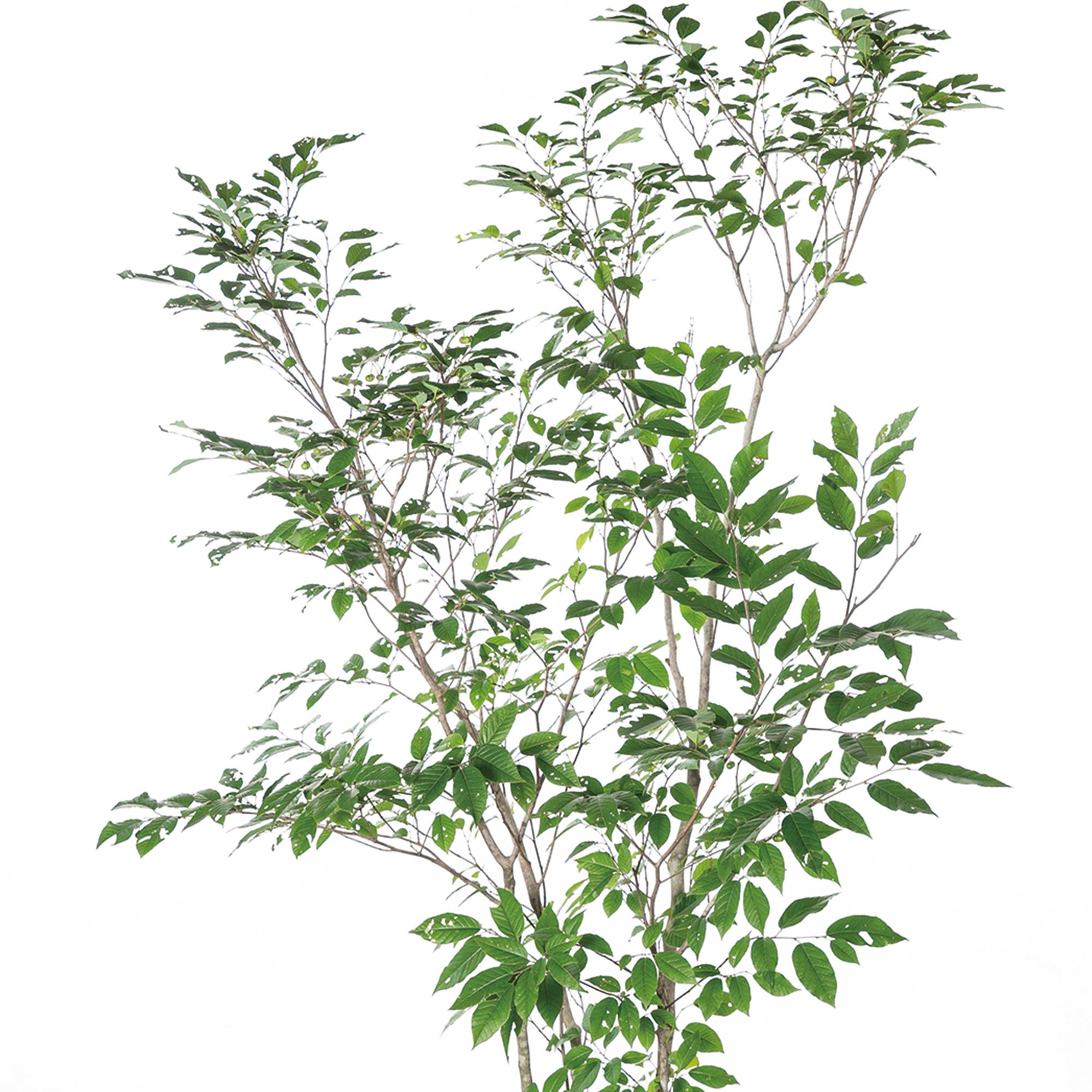 シラキ 植栽 お庭 ガーデン