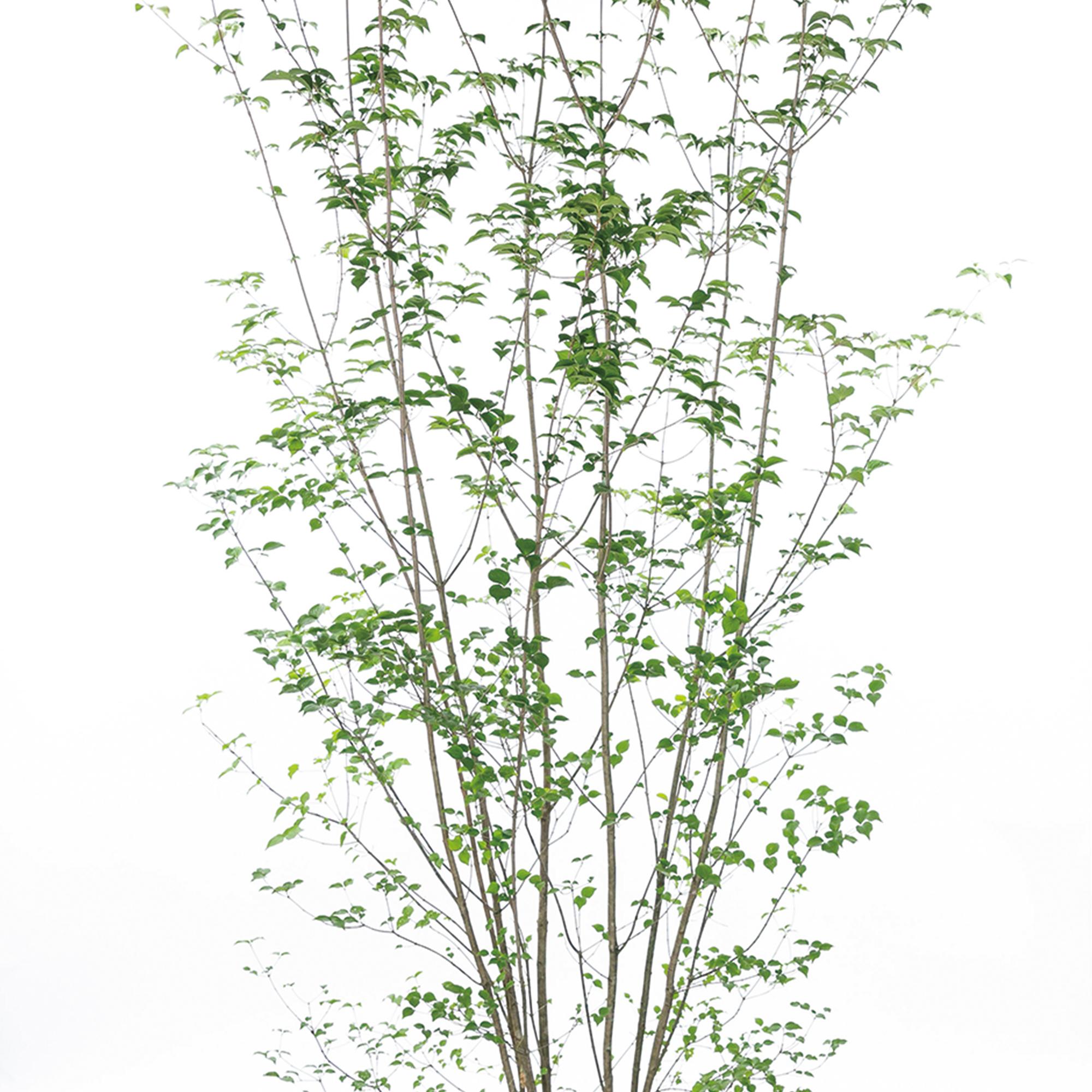ヤマボウシ 植栽 お庭 ガーデン
