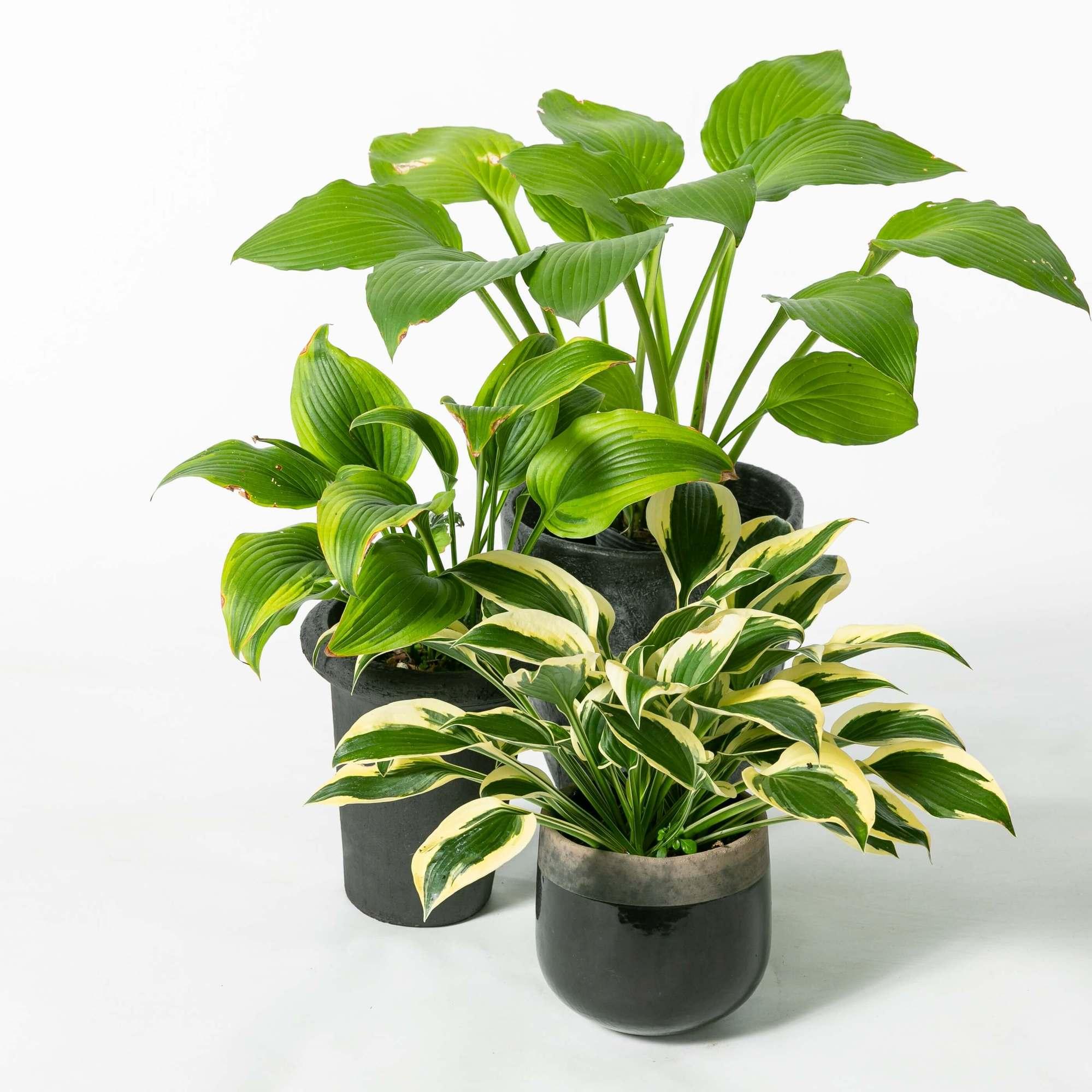 ギボウシ 植栽 お庭 ガーデン
