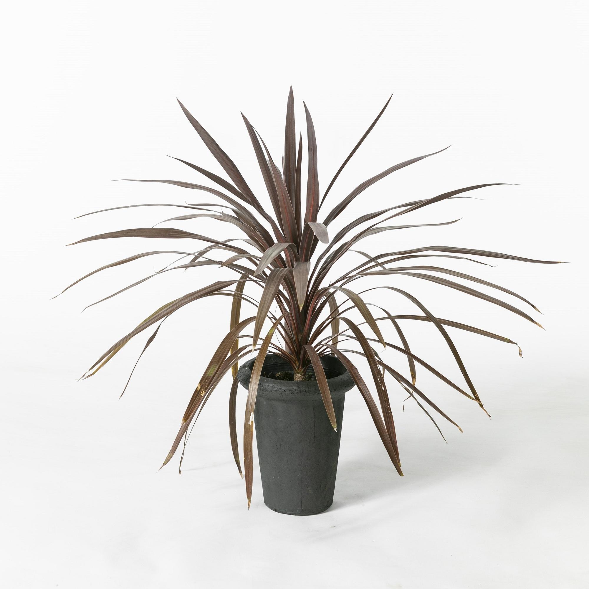 コルジリネ 観葉植物