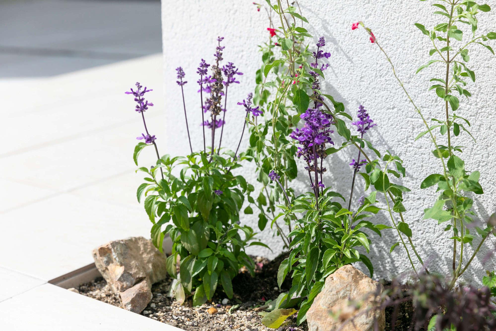 サルビア、植栽、花壇、割栗石、庭、外構